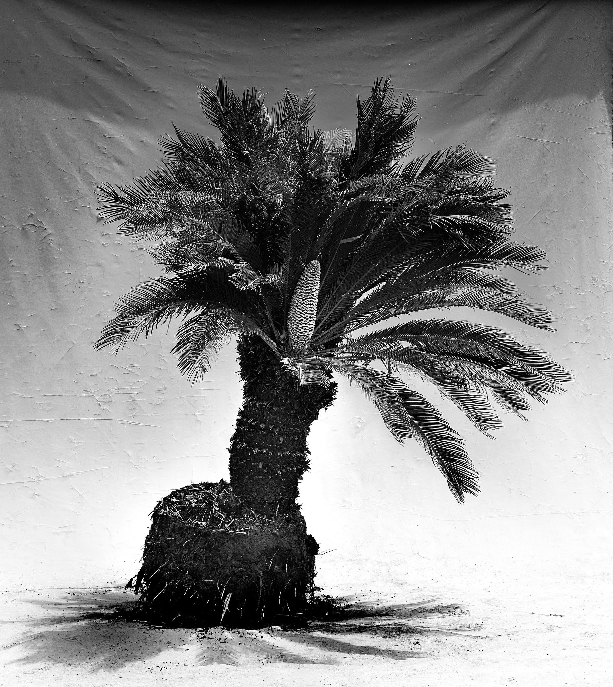 Cycad FINISH.jpg