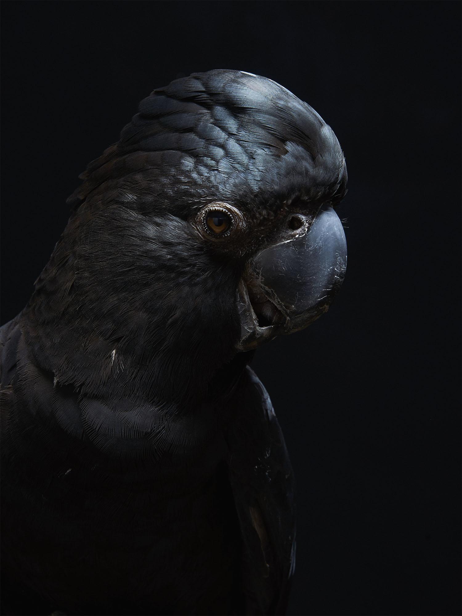 Red-tailed-Black-Cockatoo-Gary-Heery-Bird-Print