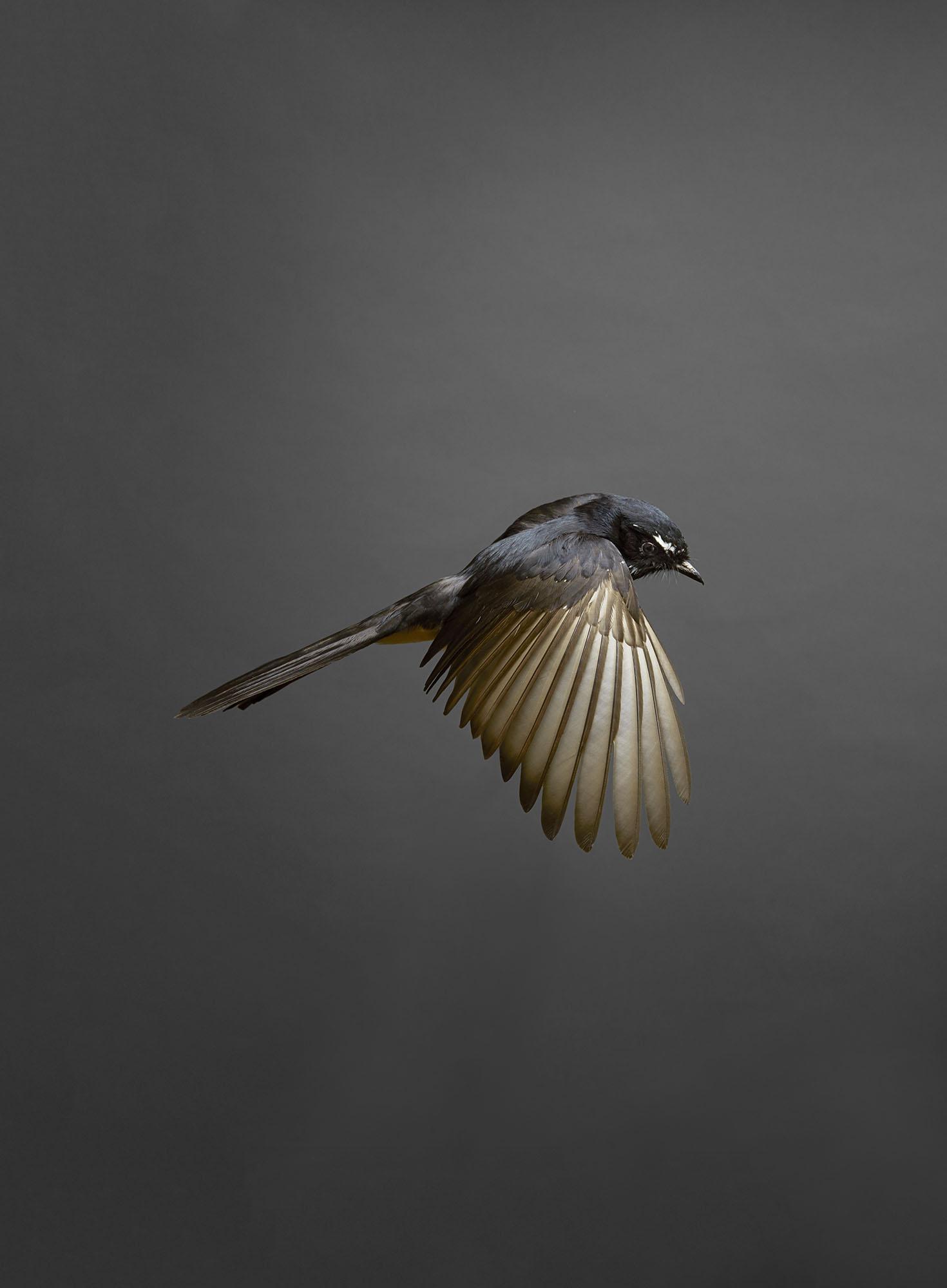 willie-wagtail-gary-heery-bird-print-01