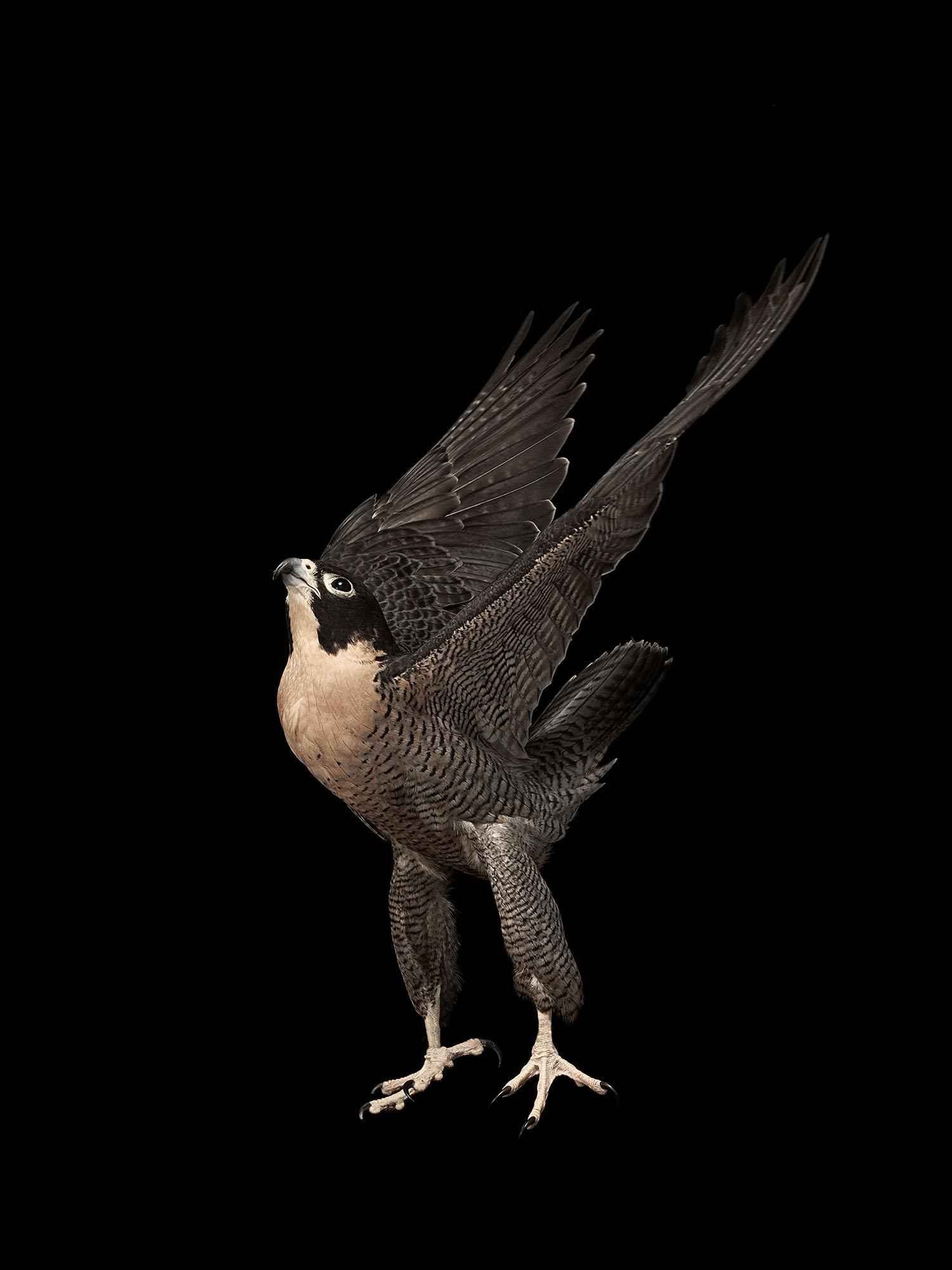 perigrine-falcon-gary-heery-bird-print