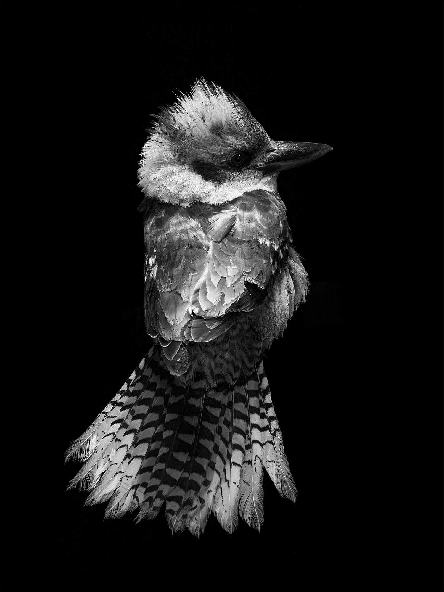 laughing-Kookaburra-gary-heery-print.jpg