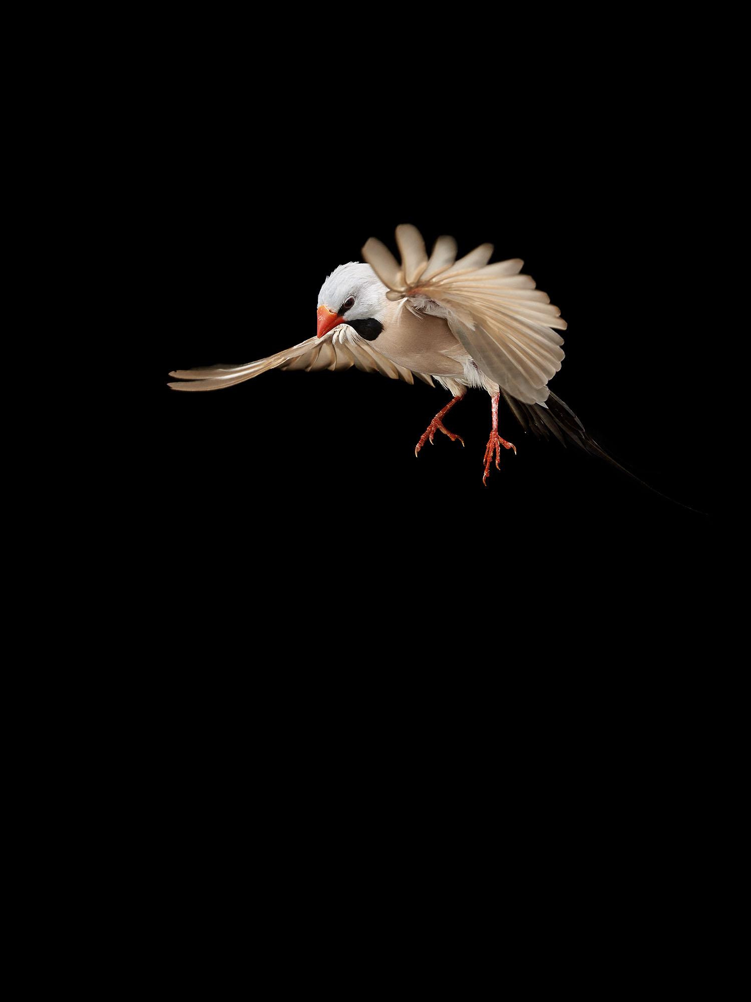 long-tailed-finch-gary-heery-bird-print