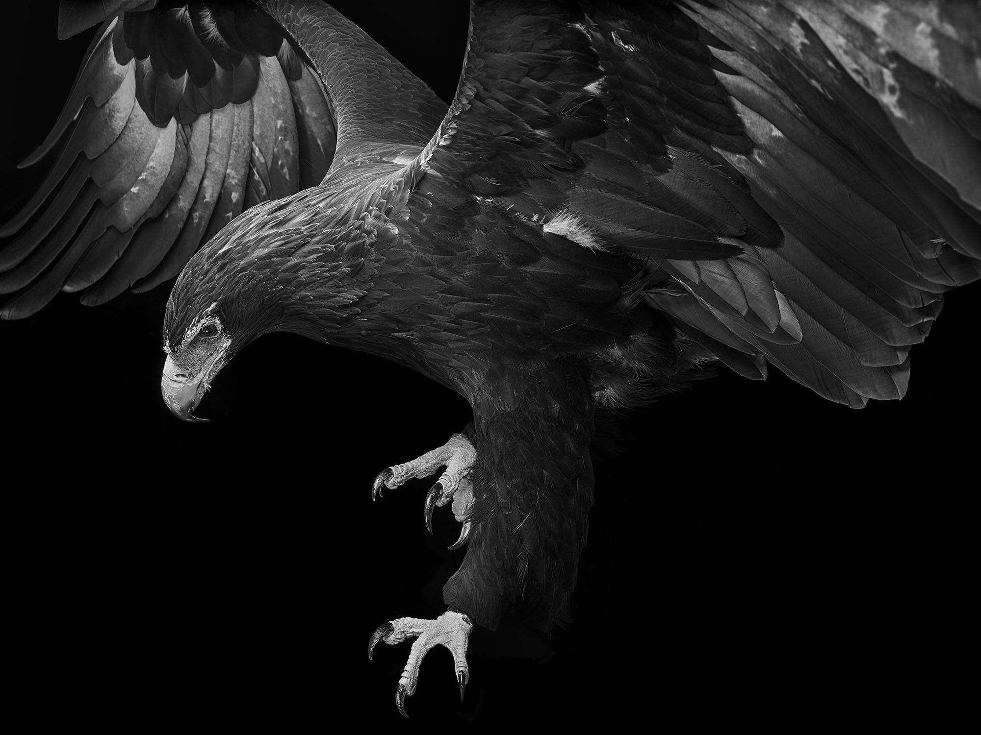 Wedgetail-Eagle-Gary-Heery-Bird-Print