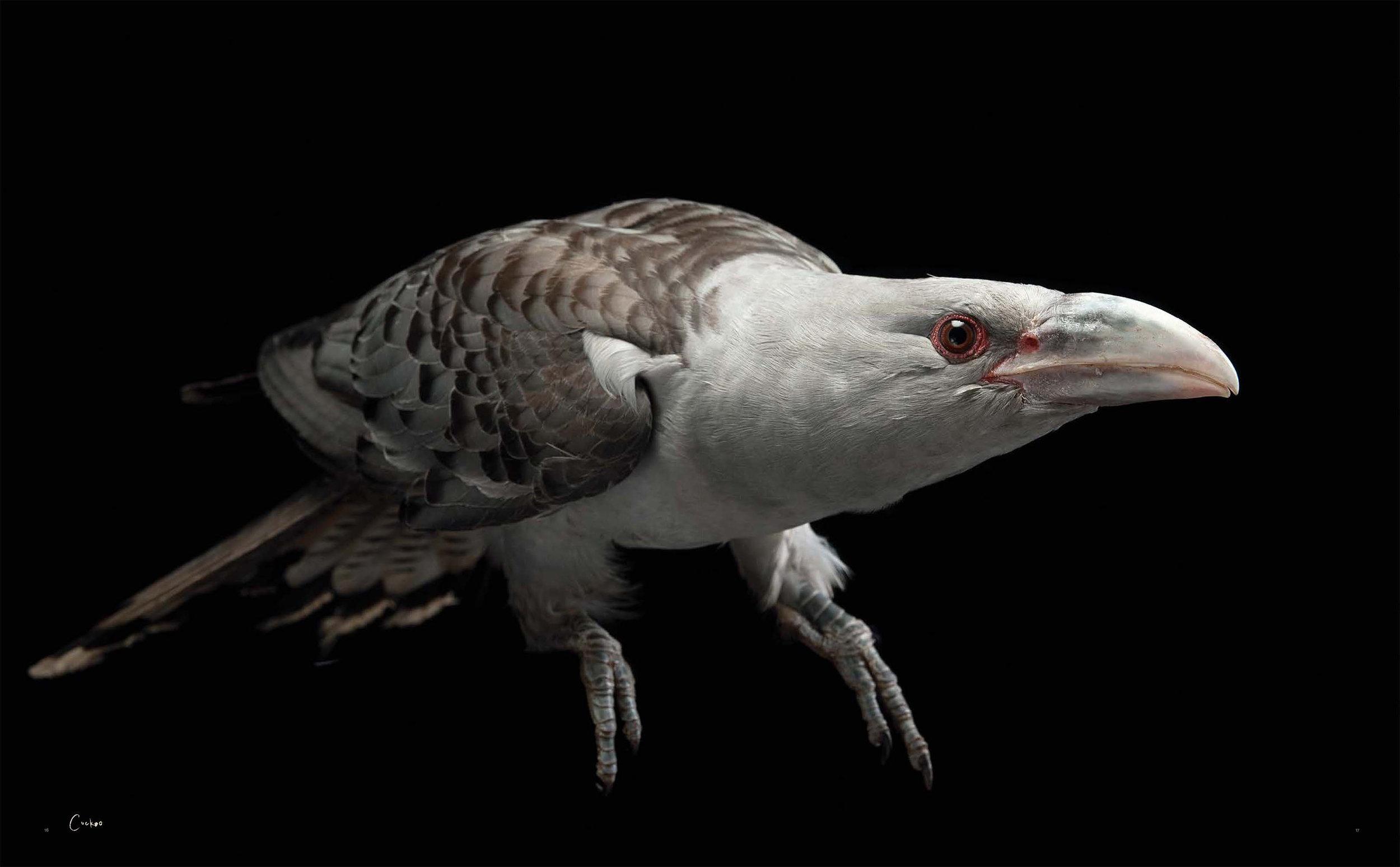 BIRD Gary Heery Book-completemmockup-19 cuckoo.JPG