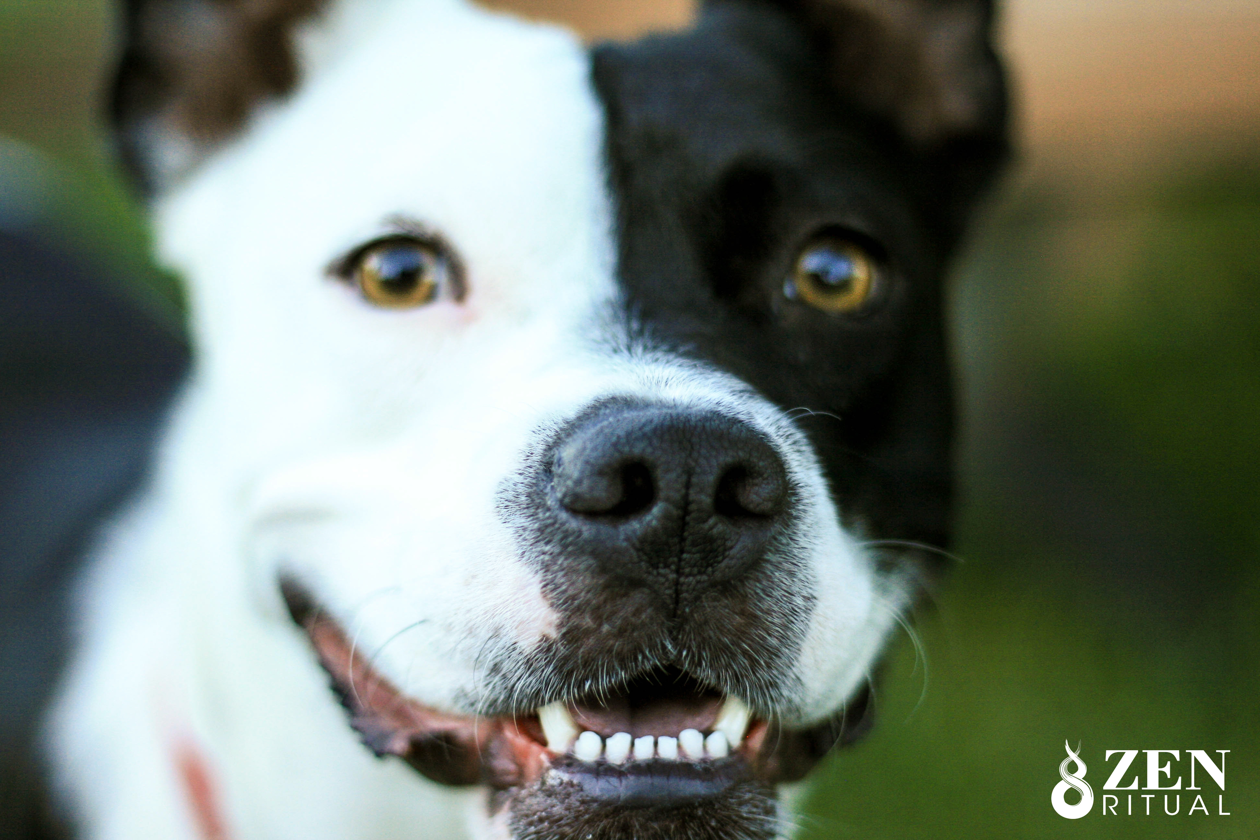 Tango (Staffordshire Terrier and Border Collie mix)