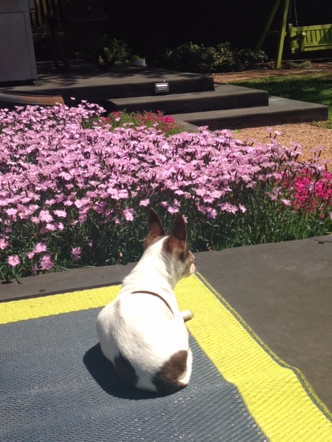 Sophie and Spring blooms in the backyard