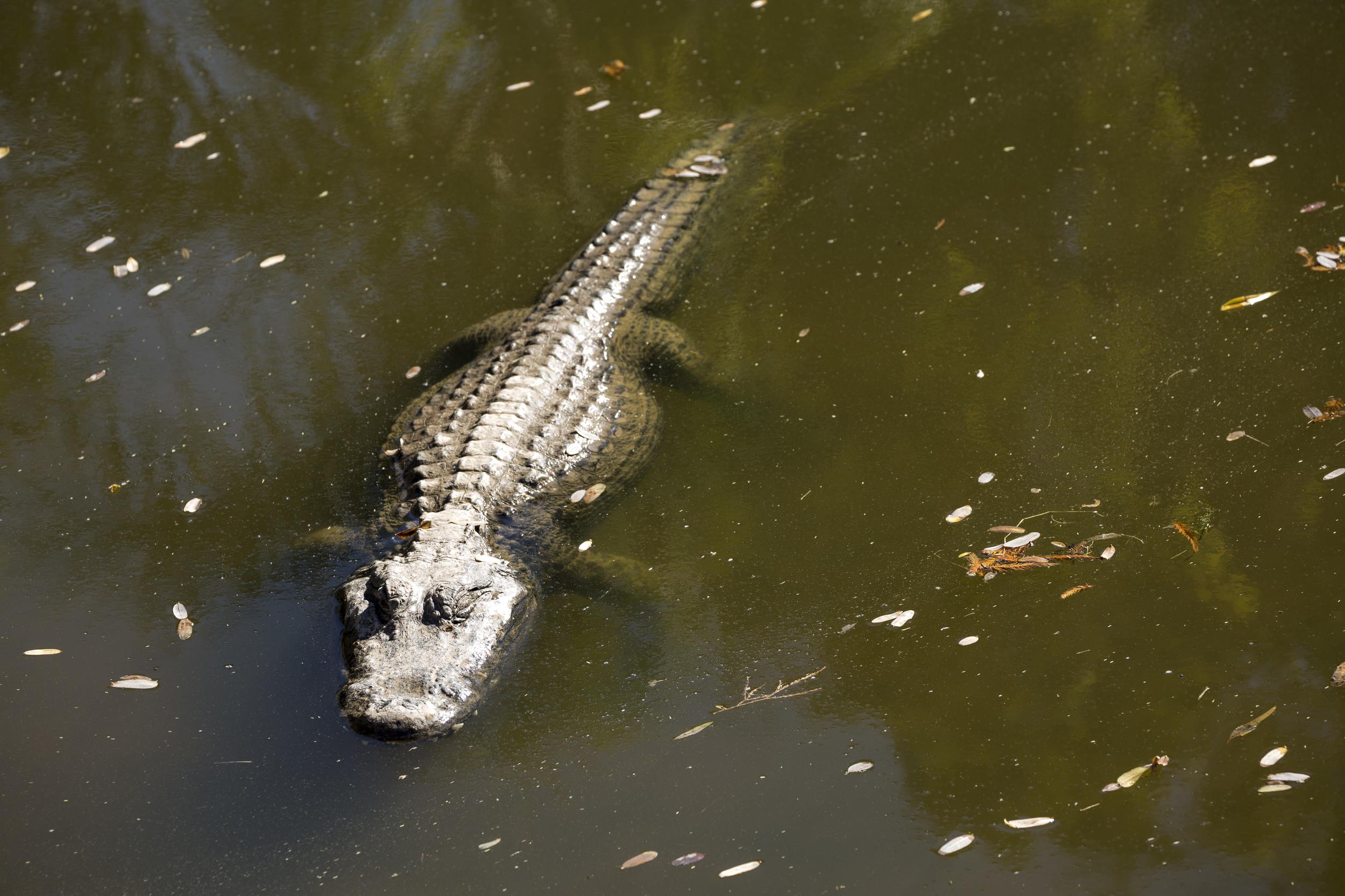 Alligator Sunbathing @  The Phoenix Zoo | Canon 5D Mark III w/ 70-300L @ f/8 1/250 & 161  mm