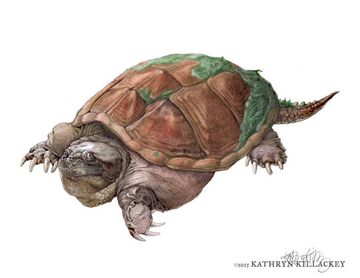common_snapping_turtle_Killackey.jpg