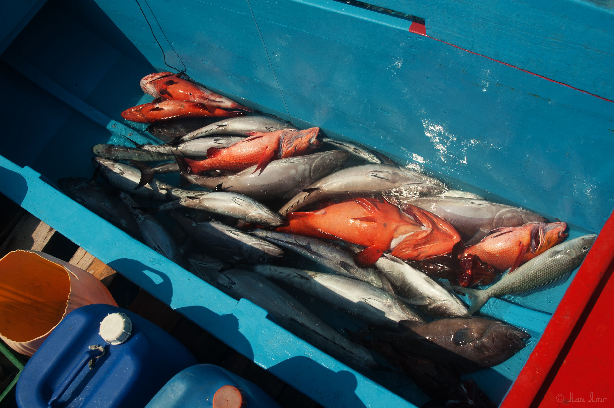 The catch is stored in the hull until they reach the resort. Here you can see a variety of fish from snappers and groupers to jobfish and trevally. Juveniles and unwanted fish are usually released back.