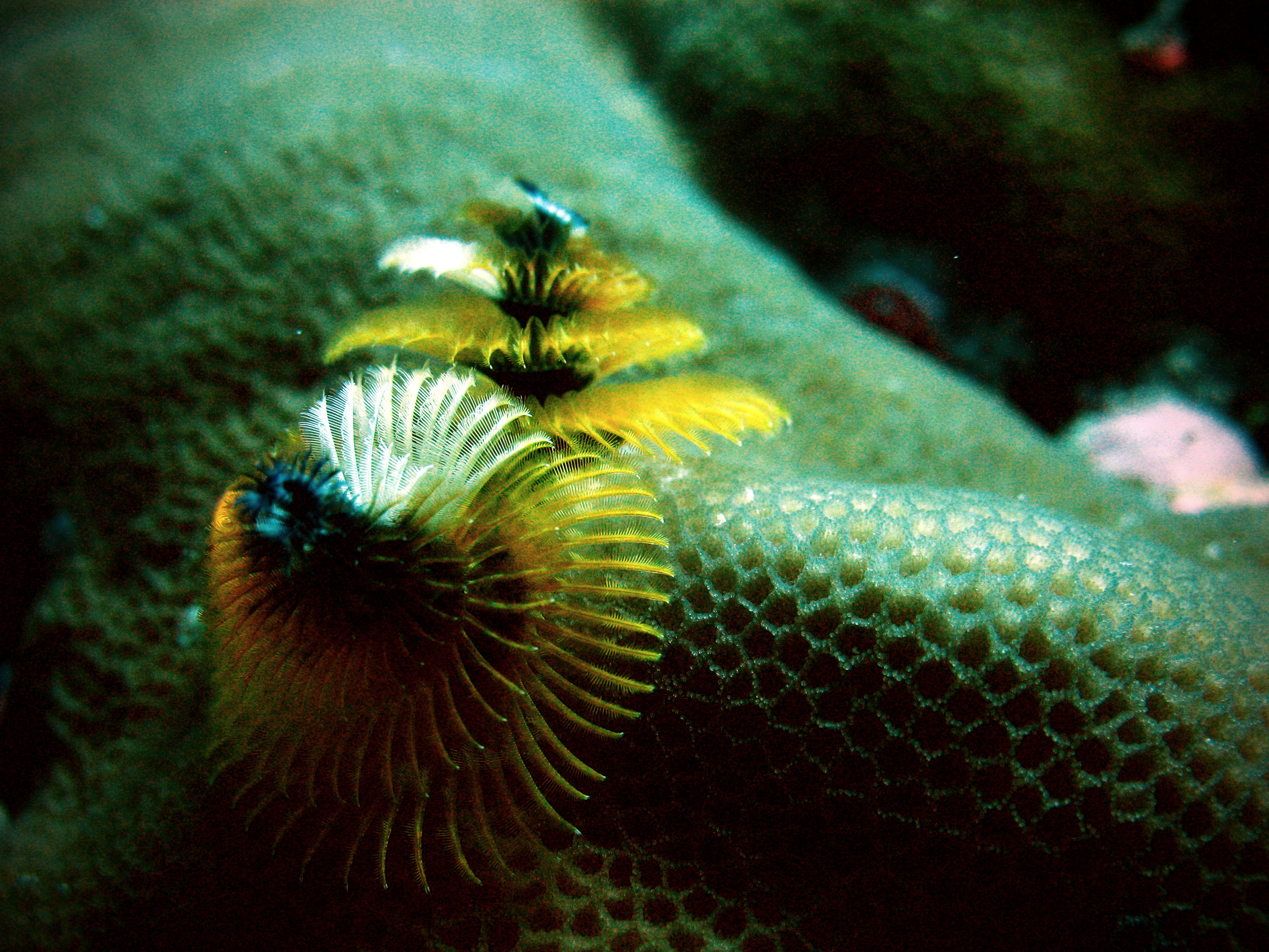 Also known as the Christmas tree worm. Maldives. Canon PowerShot A630. (2008)