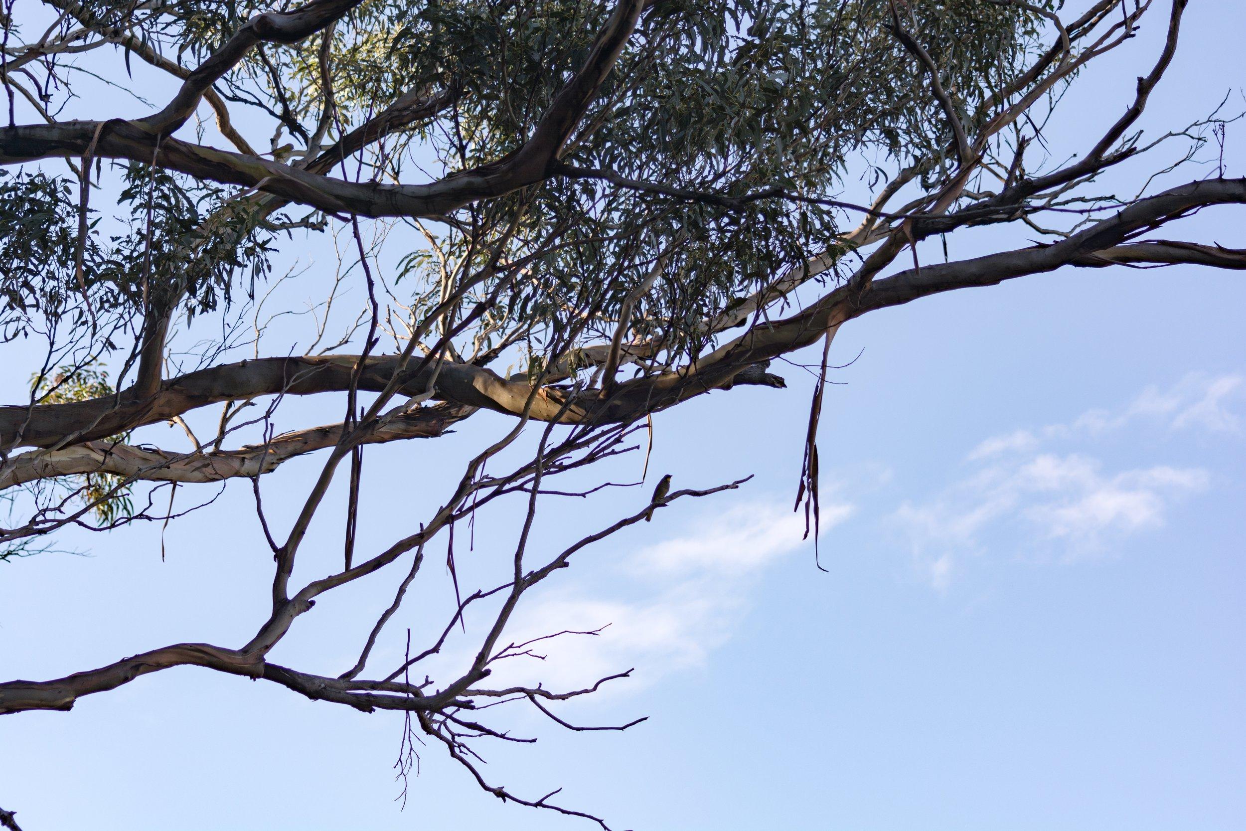 Pair of Yellow-throated honeyeaters  Nikon D7100