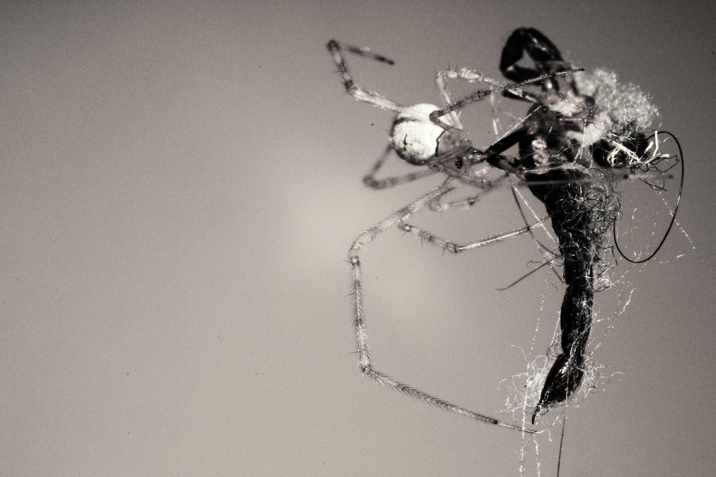 2011-03-05 - Tasmania - Nikon D3100 - spider vs centipede - archndDSC_0049.jpg