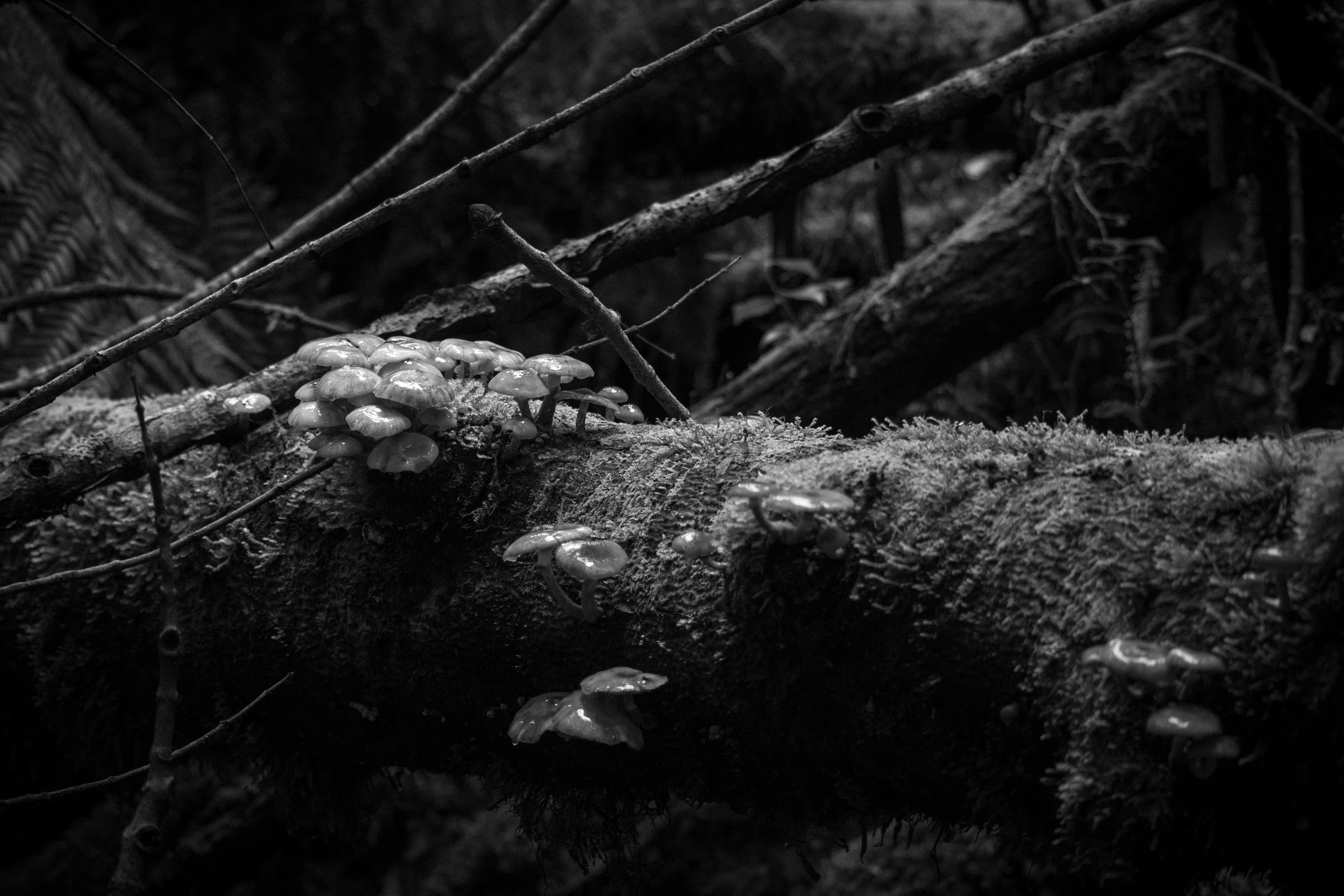 Fungi on a log   Nikon D7100.  Growling Swallet Track.  Tasmania, Australia.  (2018)