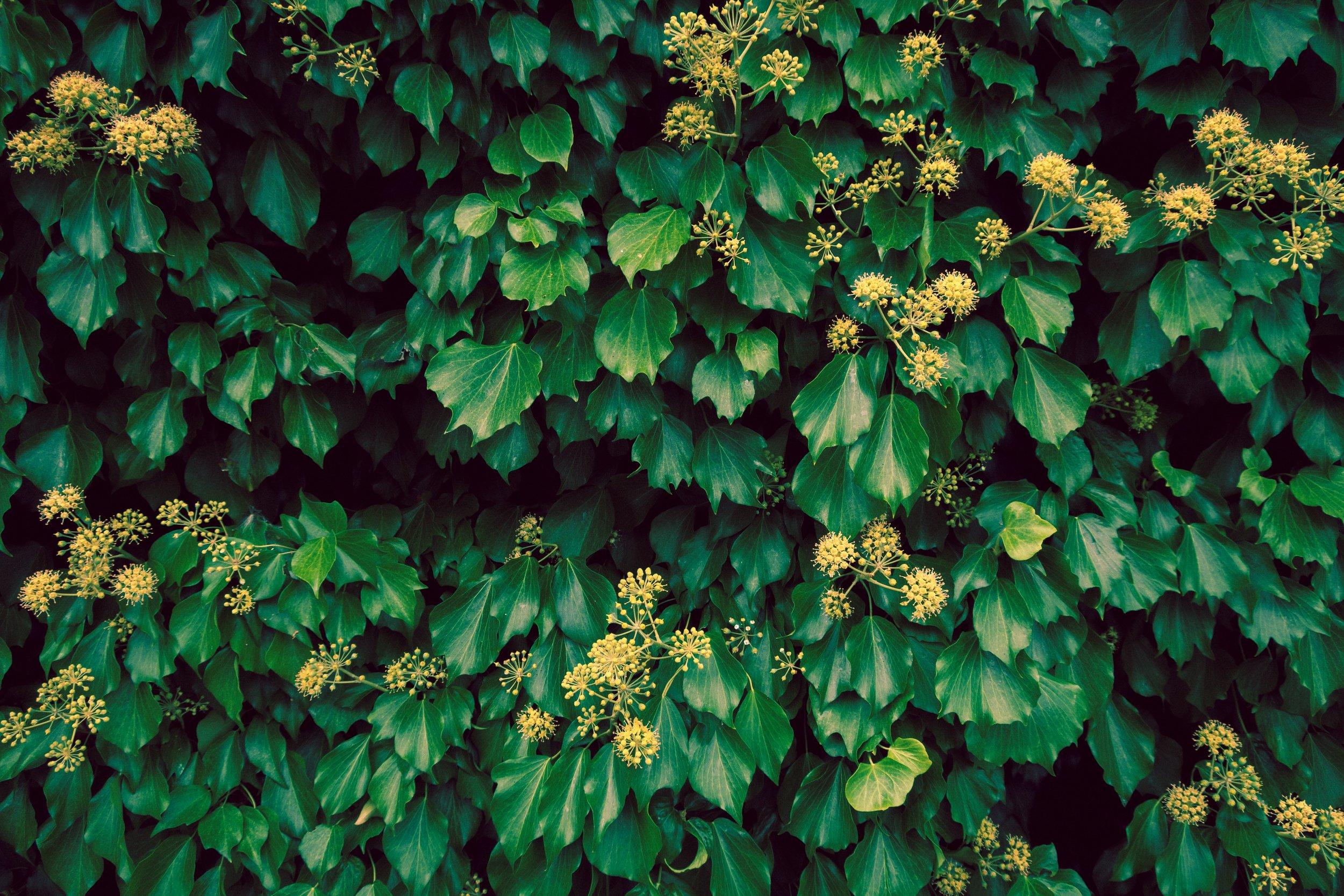 Vines in bloom | G9X II