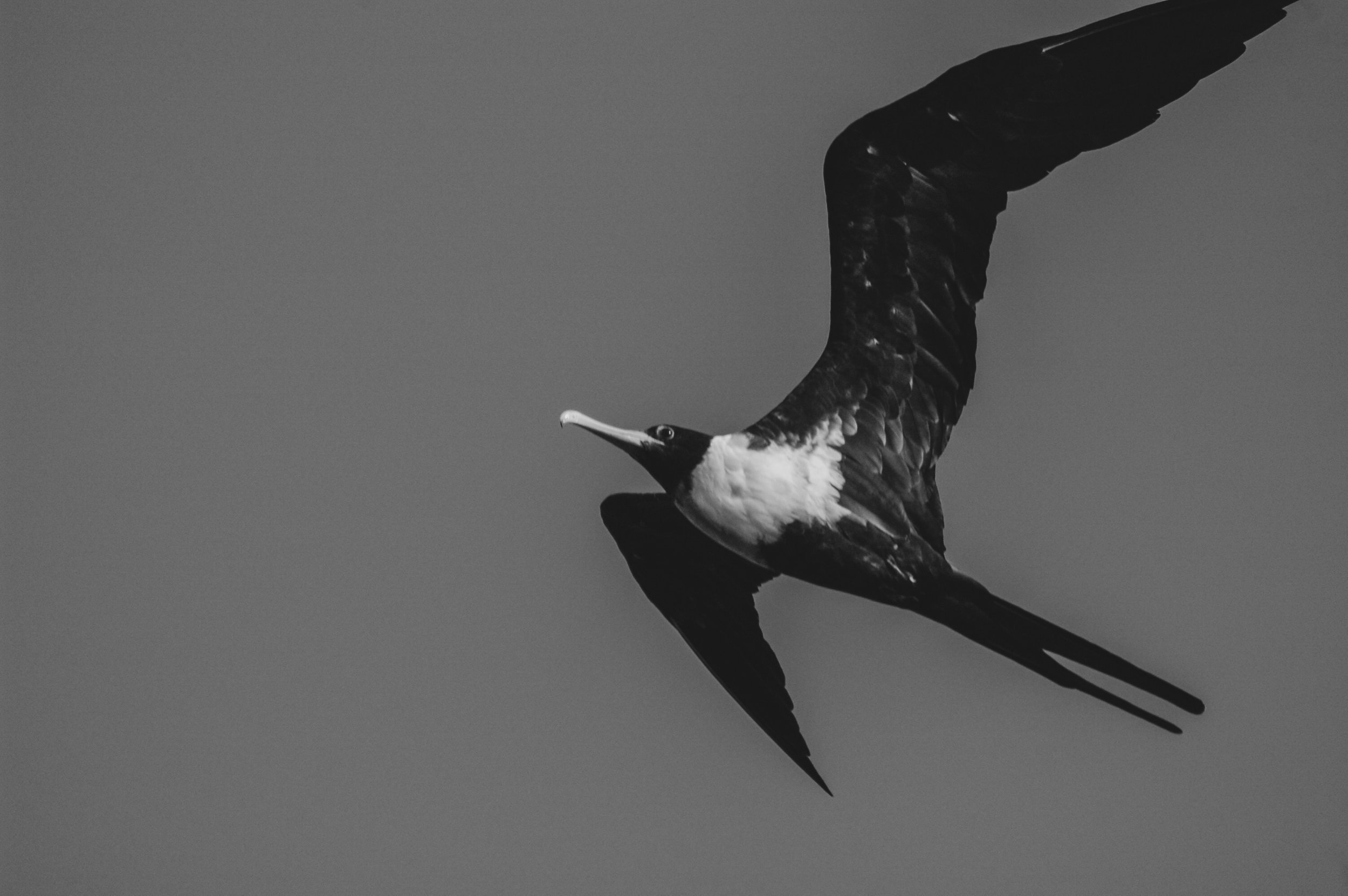 Great Frigatebird / Fregata minor | Nikon D70s | Baa Atoll, Maldives (2009)
