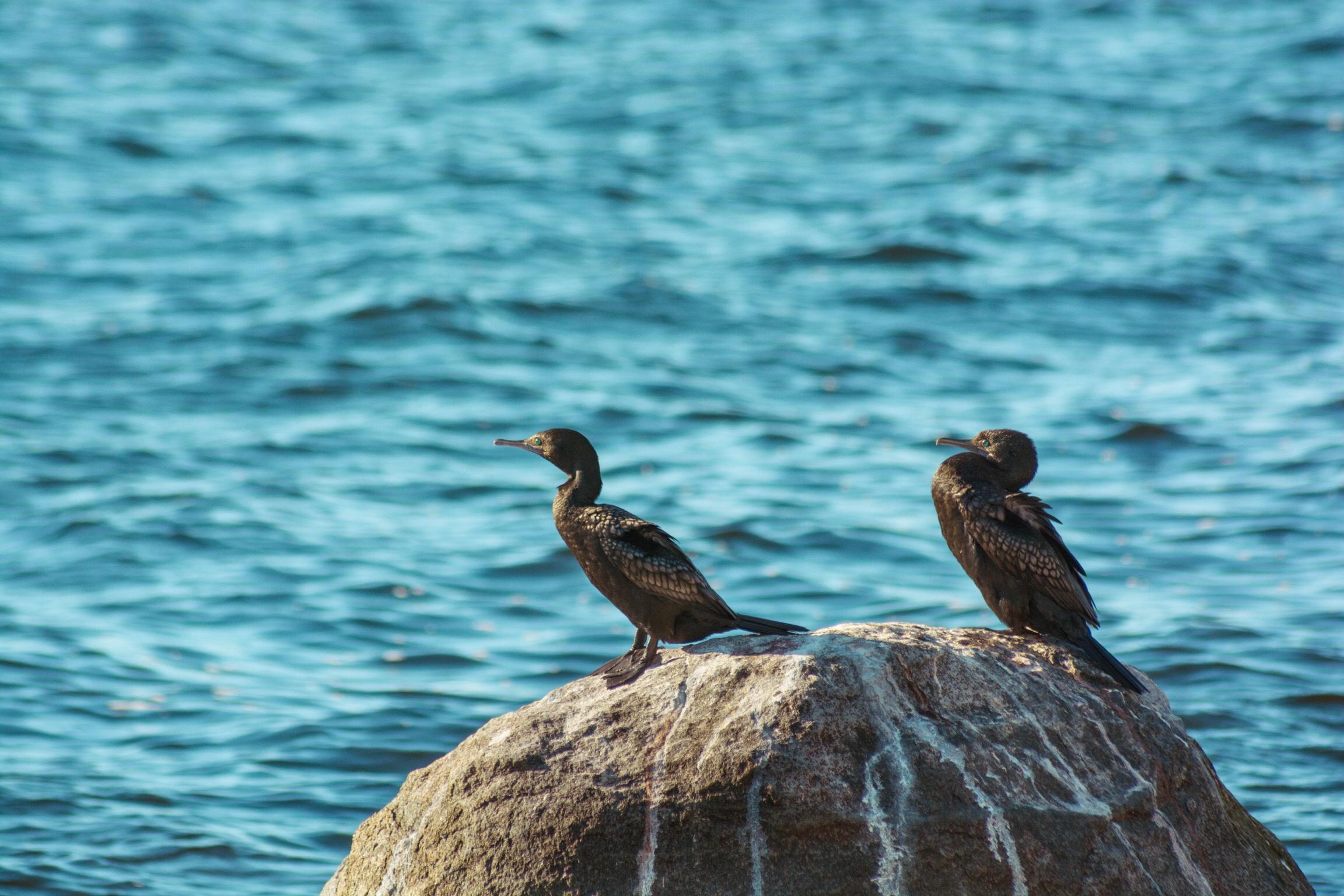 Phalacrocorax sulcirostris | Sandy Bay, Hobart | D7100 | (2019)