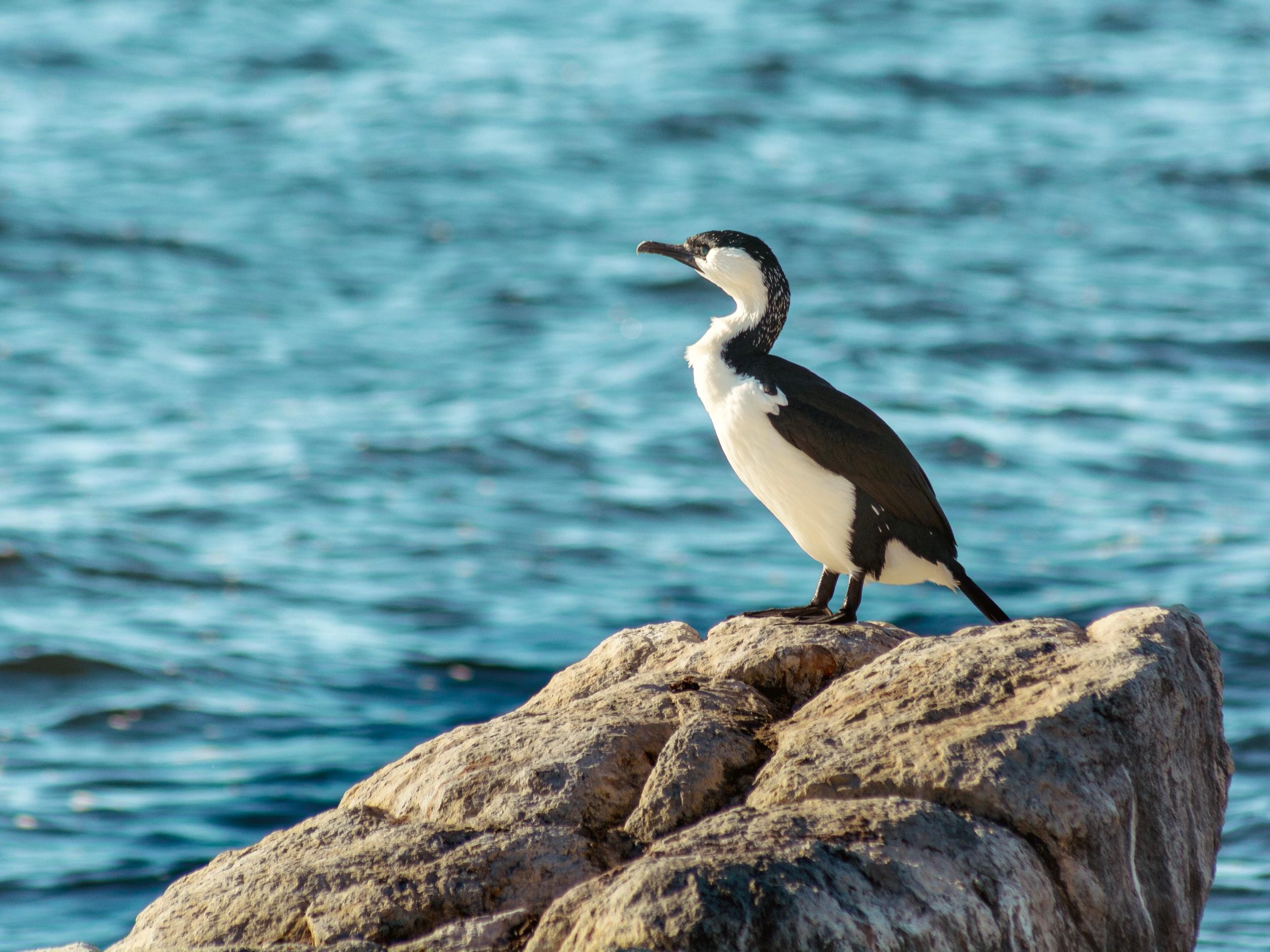 Phalacrocorax fuscescens | Sandy Bay, Hobart | D7100 | (2019)