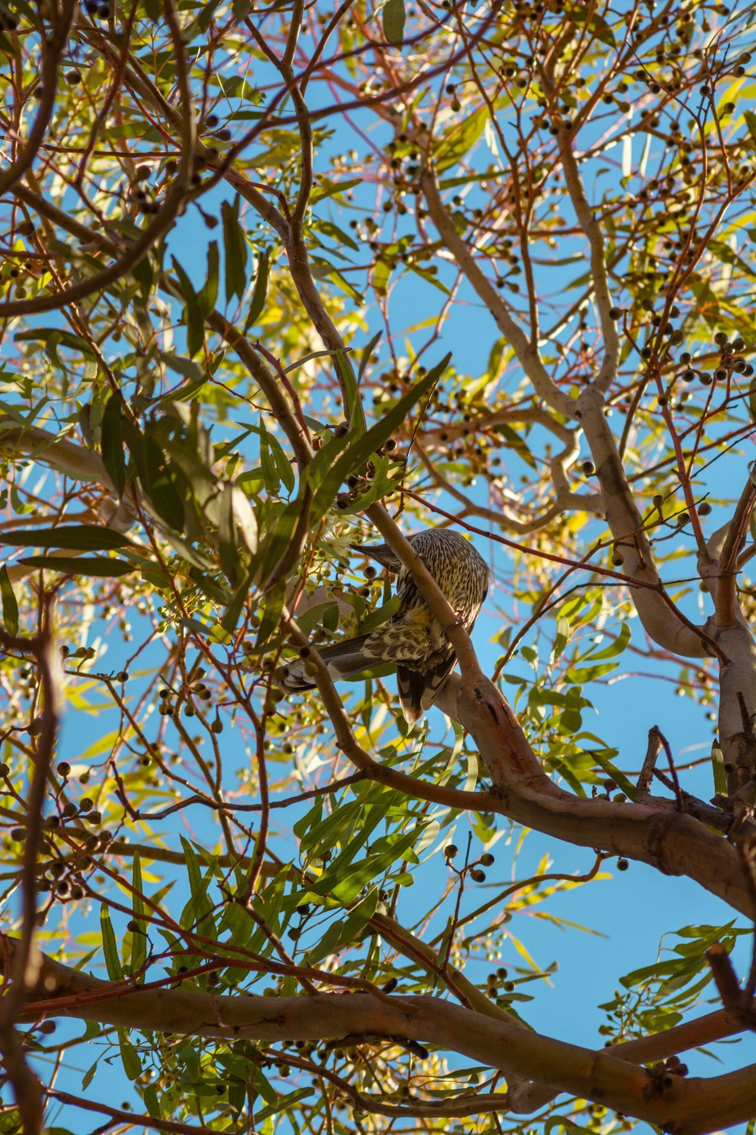 Anthochaera chrysoptera | Sandy Bay, Hobart | D7100 | (2019)