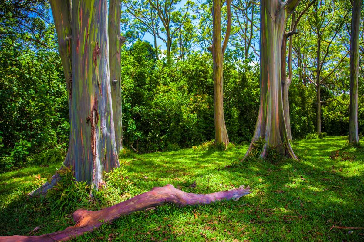 BUBBLE GUM FOREST