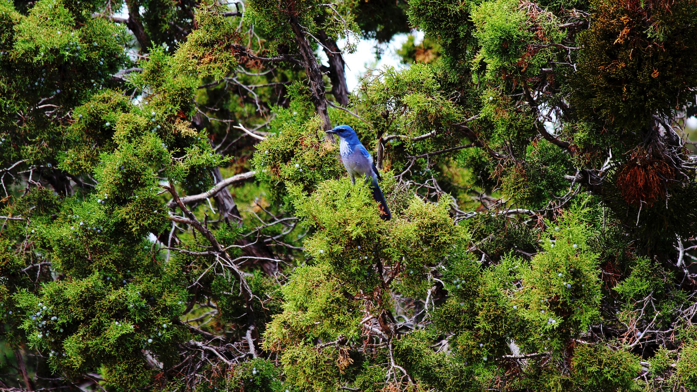 #22 - Blue Bird On Branches