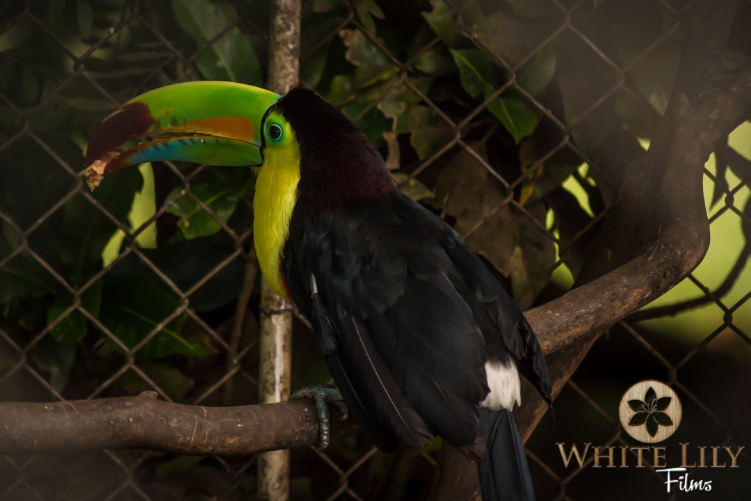 Keel-billed Toucan, one of 42 Toucan species in Latin America.