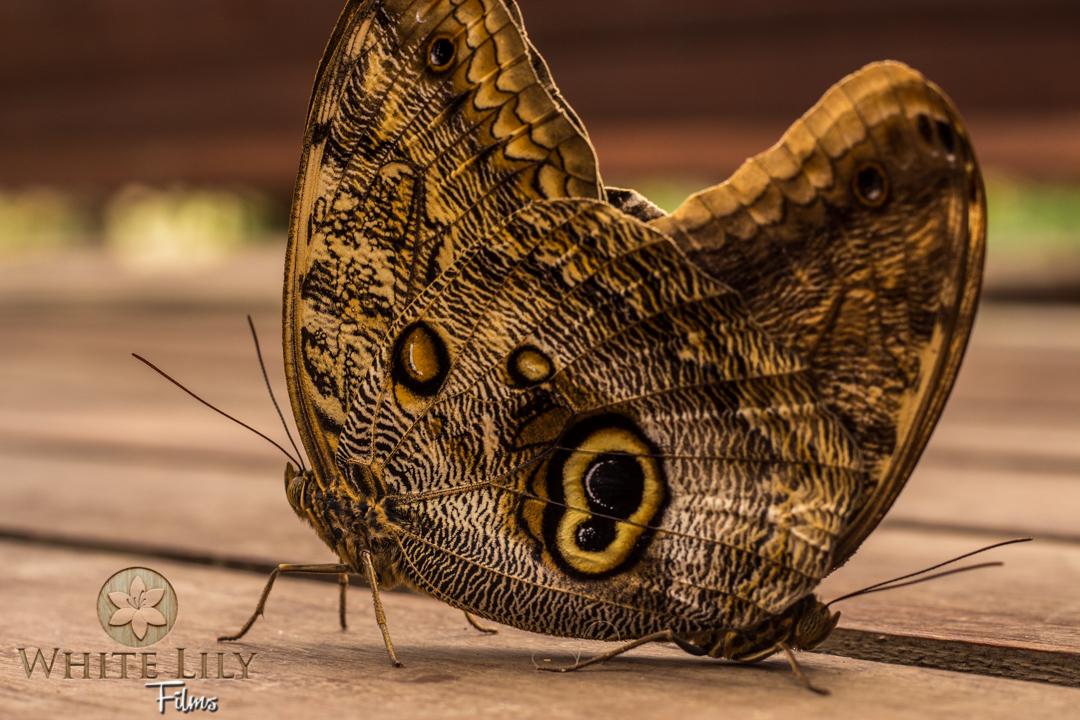 Owl Butterflies Mating