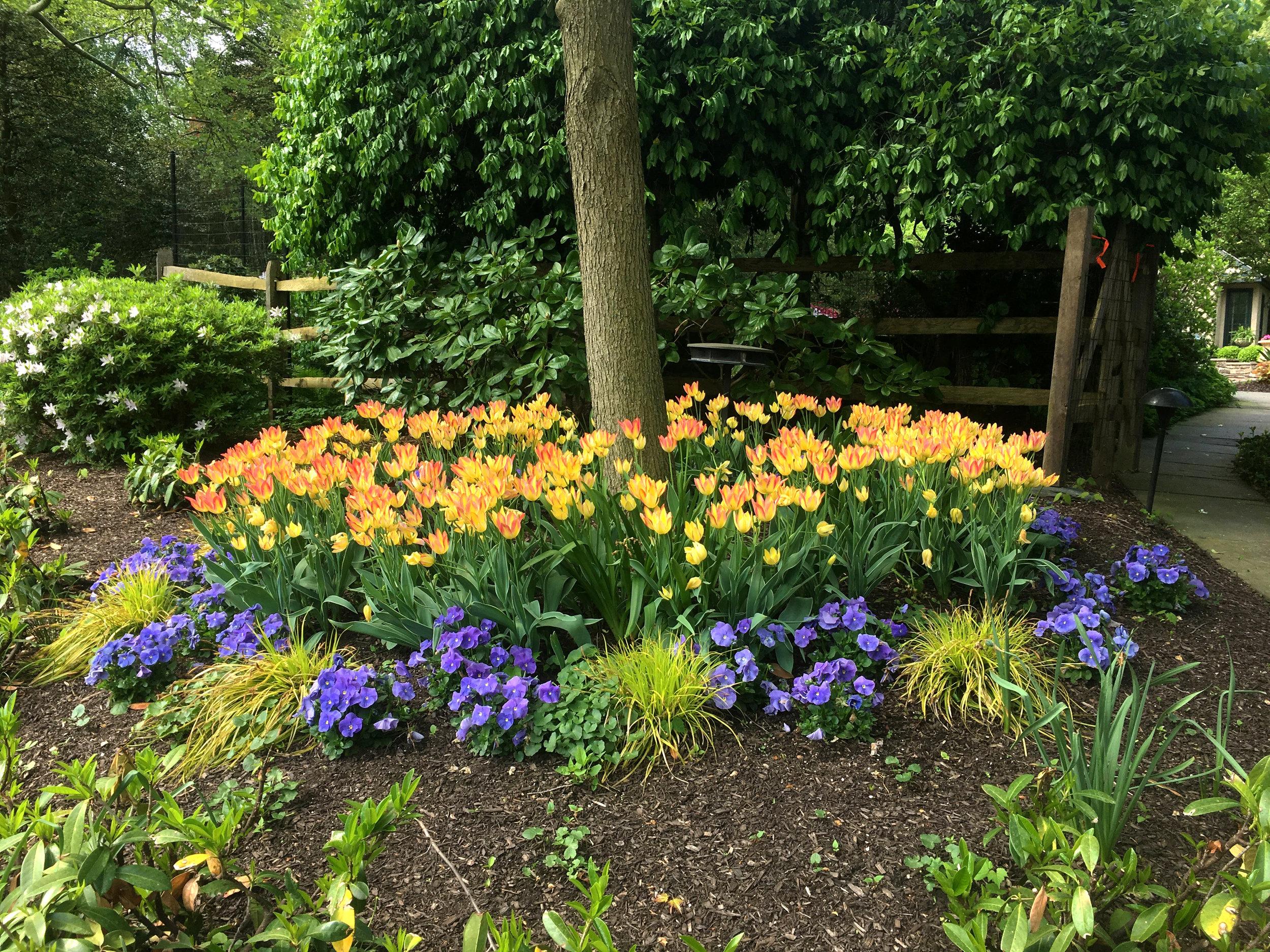 Tulips_pansies_spring_01_20190223.jpg