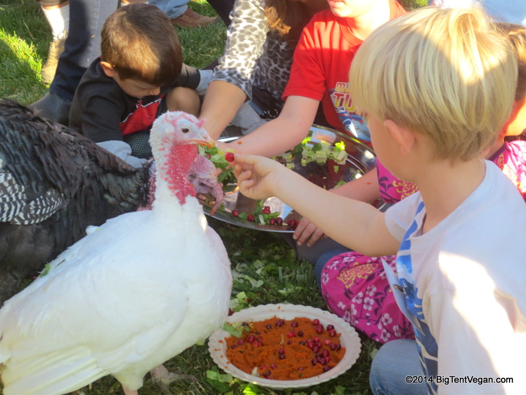 Henrietta and Martha getting lots of love from compassionate human friends at Farm Sanctuary's Celebration FOR the Turkey's in 2013. Turkeys love to be hand-fed and stroked!