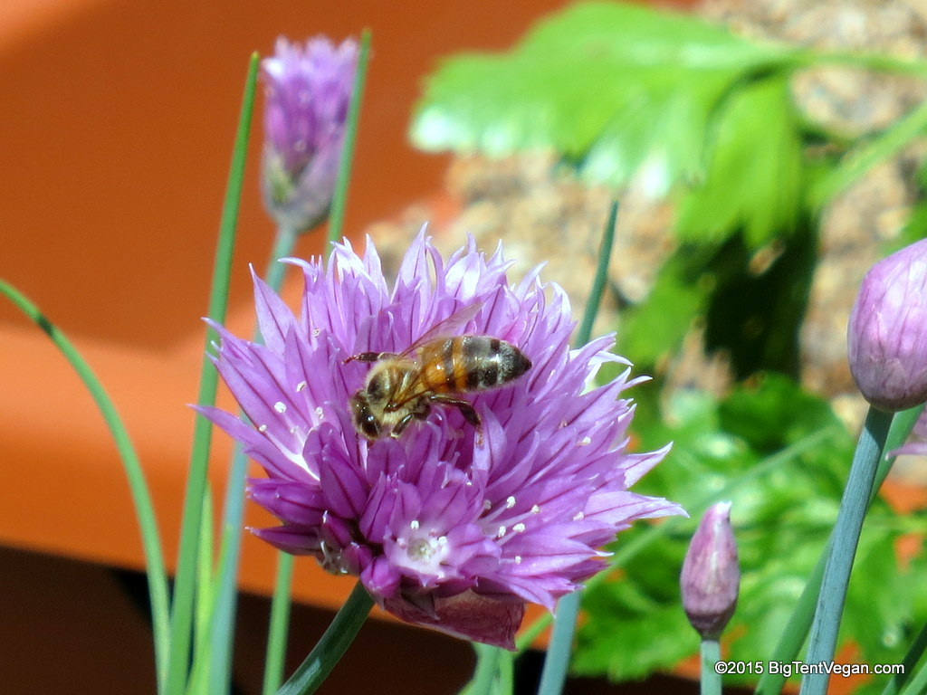 Bee on a chive flower in our yard.