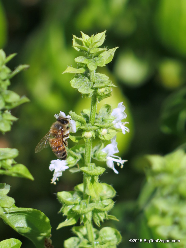 bee on a basil flower in our yard.