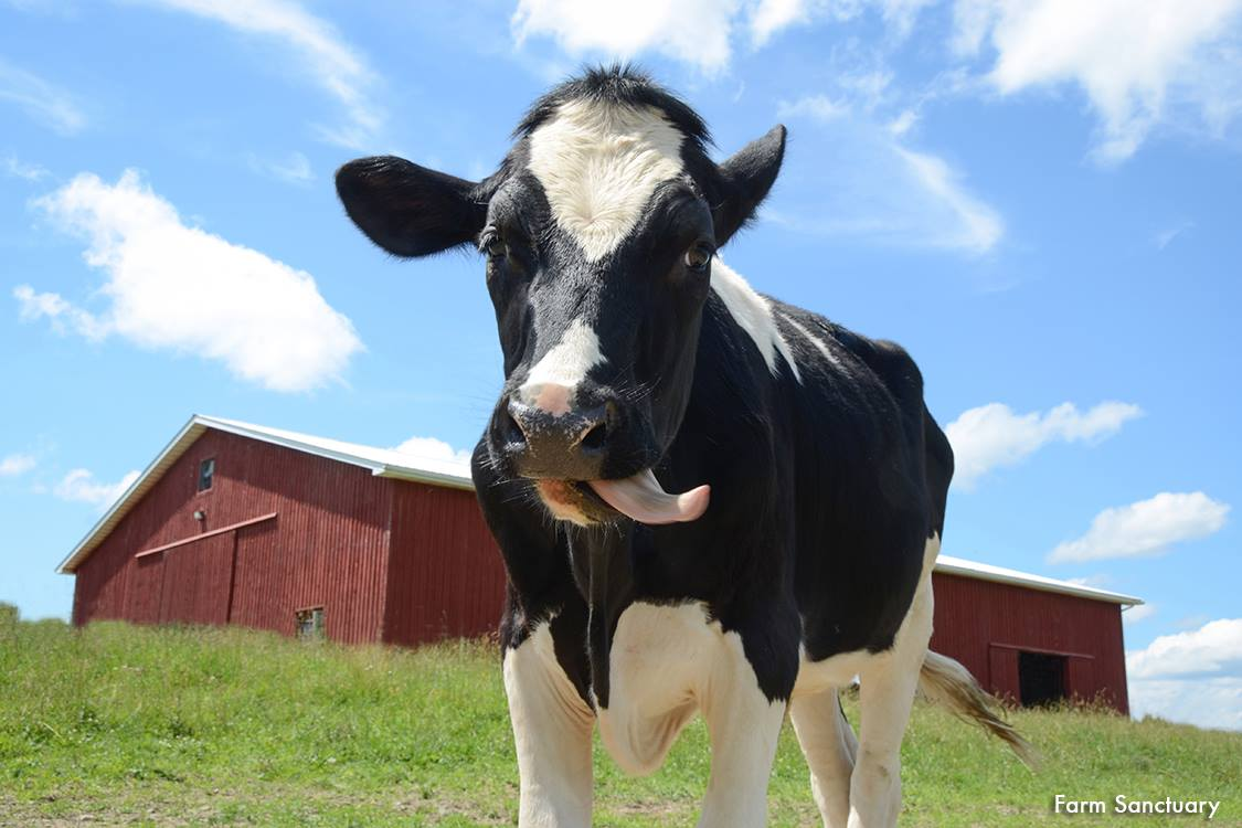 Rumor has it that  Rescued dairy calf ari at farm sanctuary  smacks his lips in joy and gratitude every time someone chooses vegan mac n' cheese INSTEAD OF non-vegan!