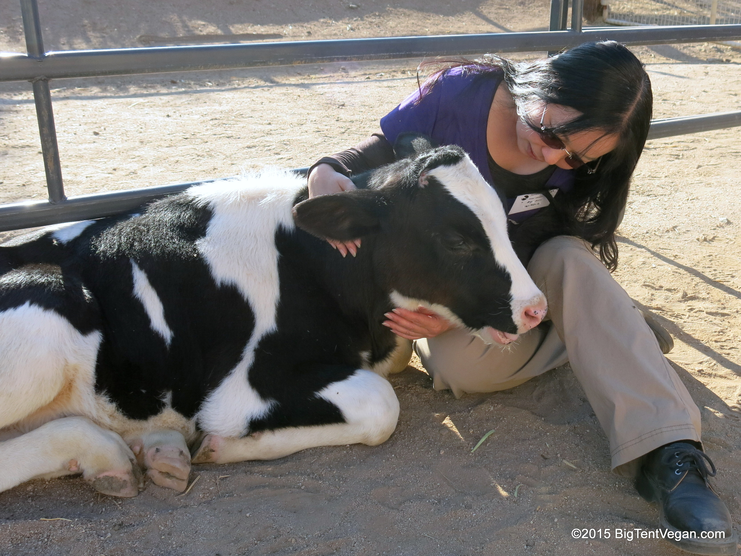 Rescued dairy calf Safran when he was only two months old! At Farm Sanctuary in Acton, CA, USA.