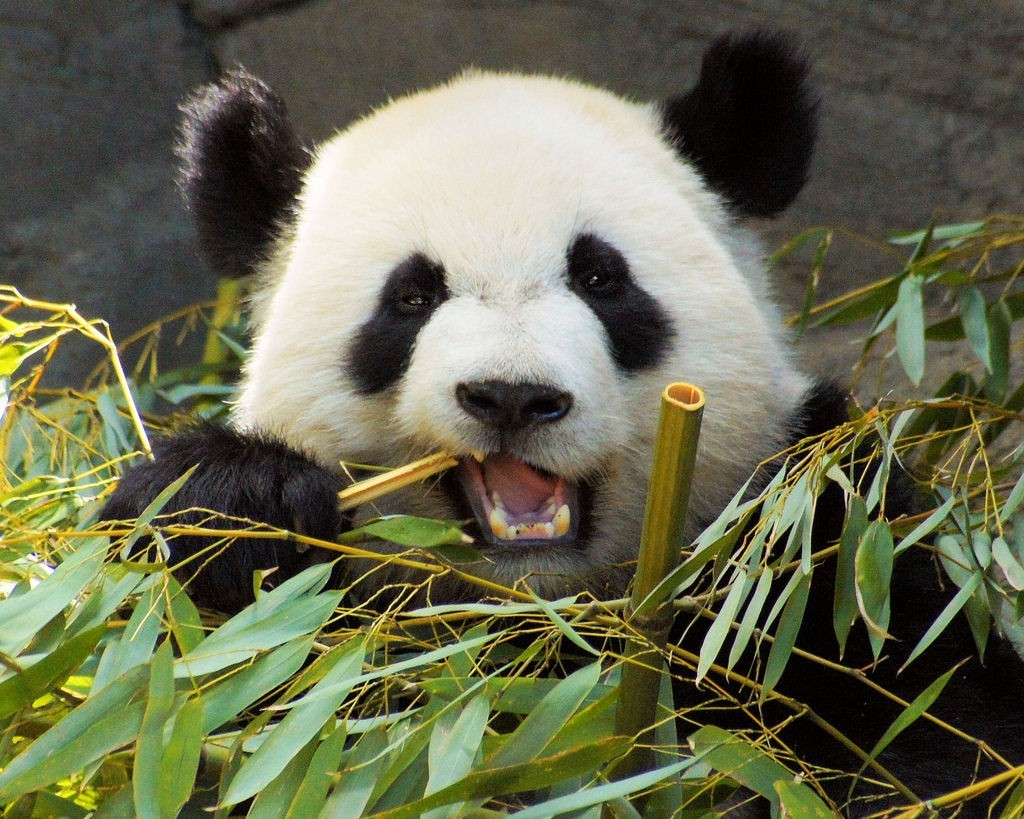 fig0-panda-bamboo.jpg