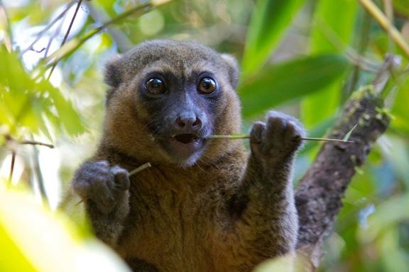 greater_bamboo_lemur_madagascar2.jpg