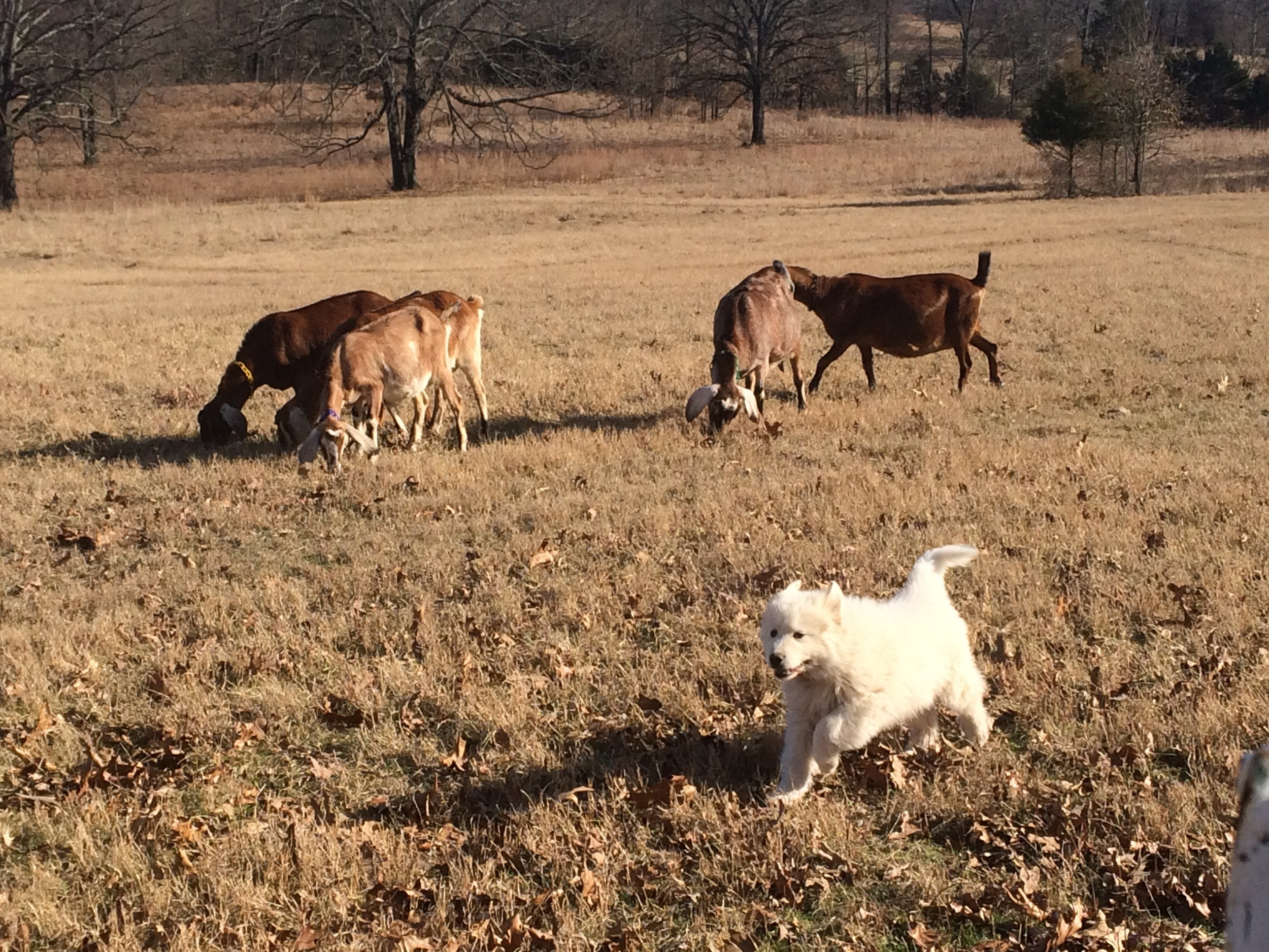 This pic was taken Thursday. Star is the lighter-colored goat on the left side of the pic. She was eating well and had rejoined the herd.