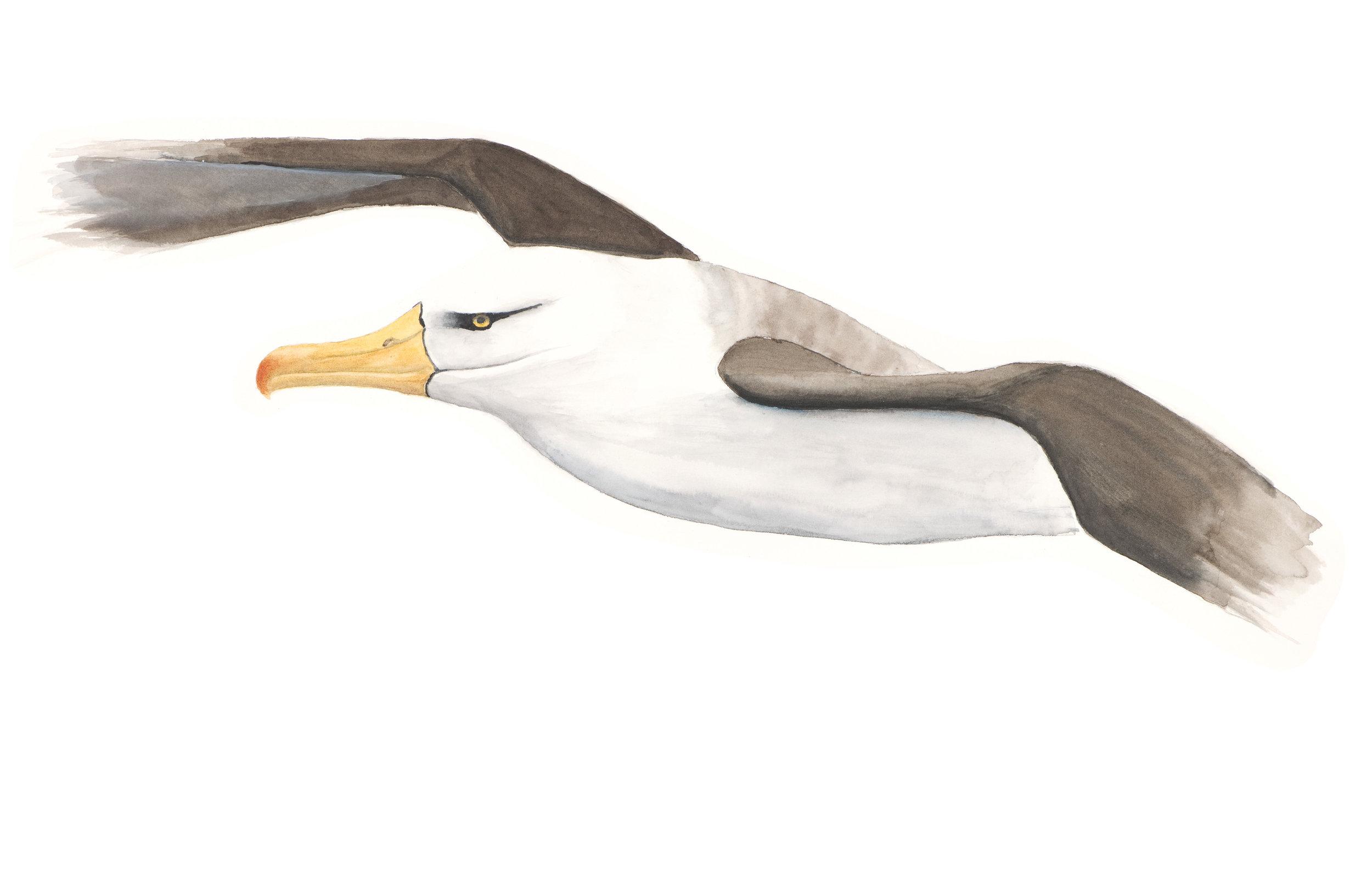 Blackbrowed Albatross Malcolm Calder Watercolour.jpg