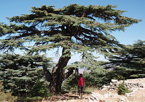 This impressive Cedar of Lebanon is over a thousand years old!