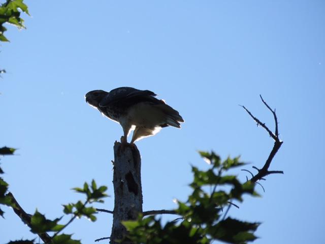 Hawk July 14 copy.JPG