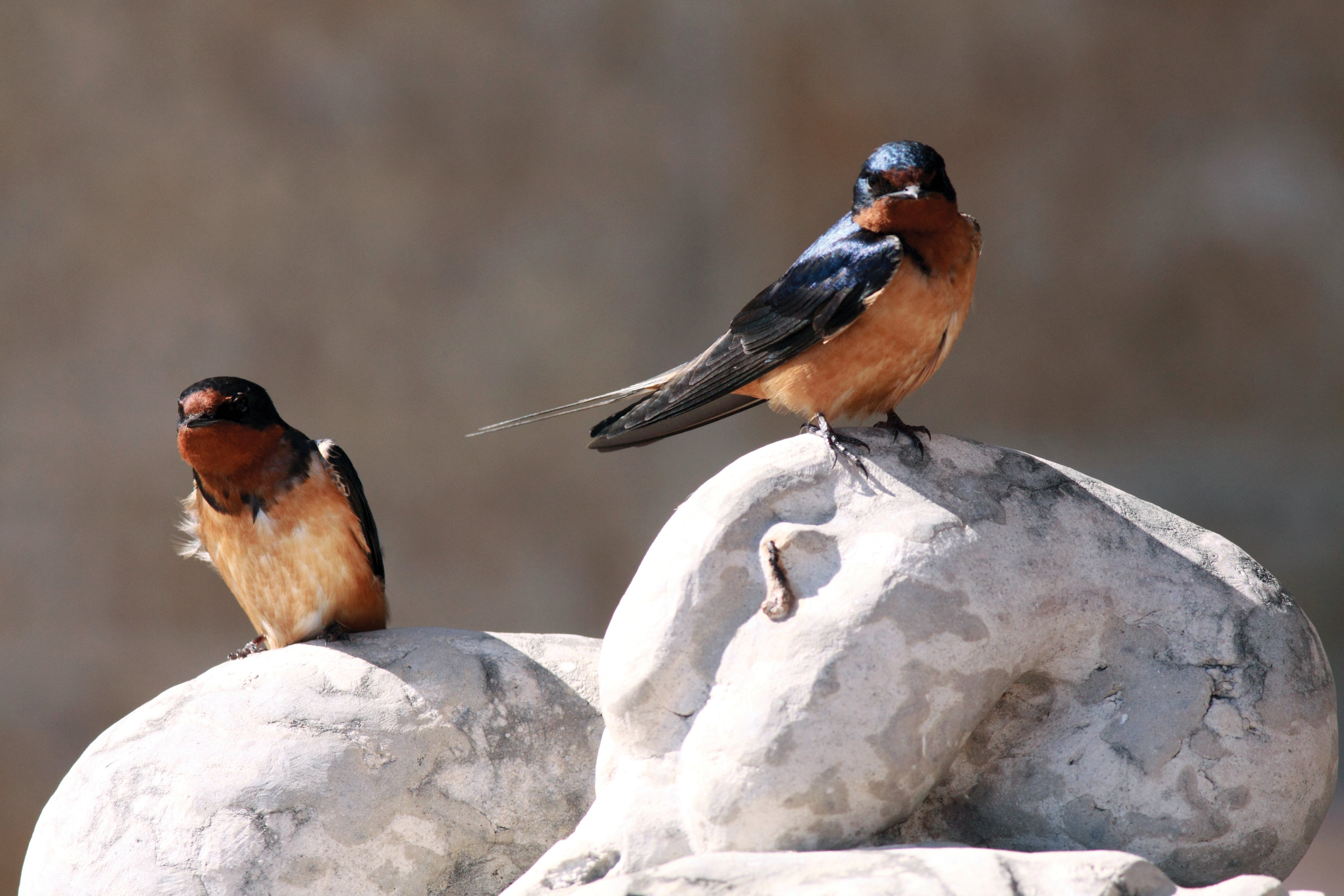 Barn Swallow_4341_Artuso_large.jpg