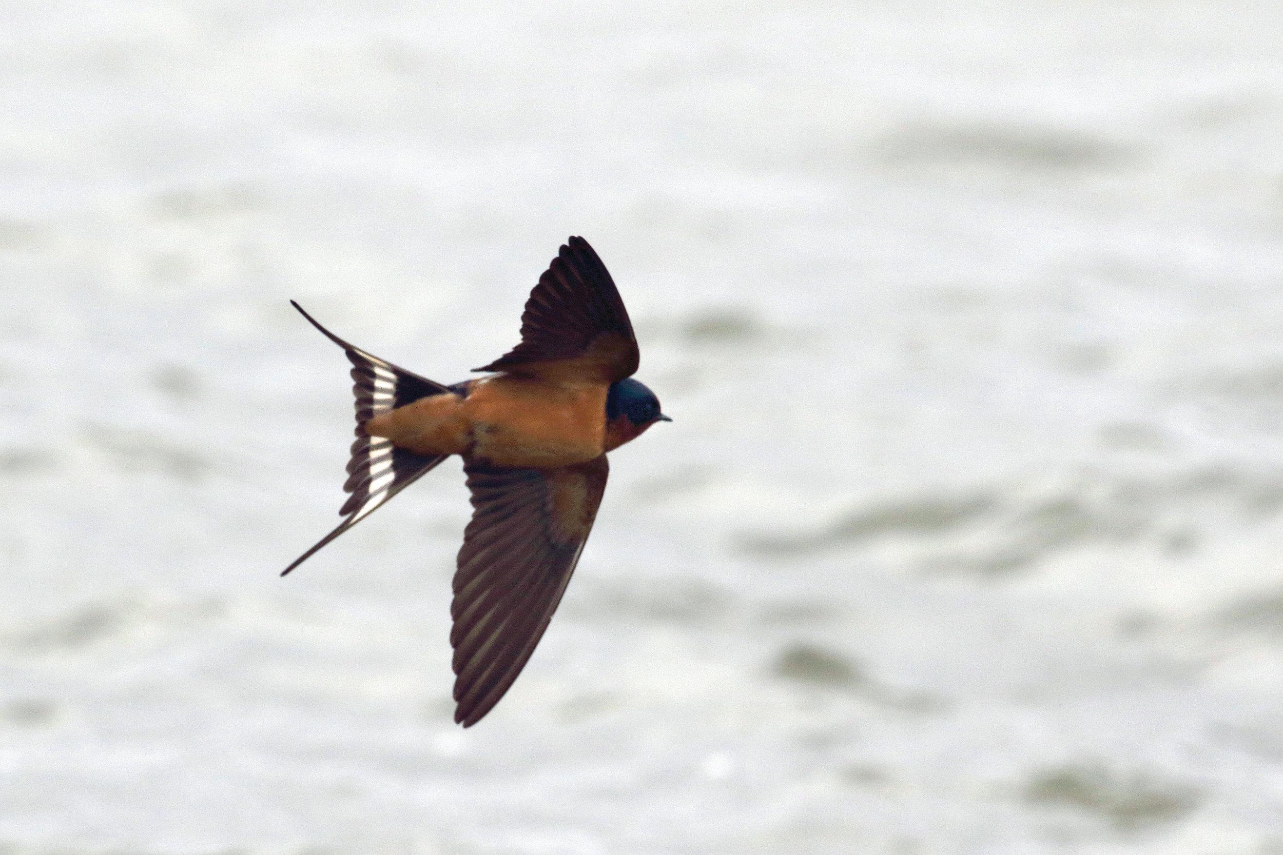 Barn Swallow_4252_flight_Artuso_large.jpg