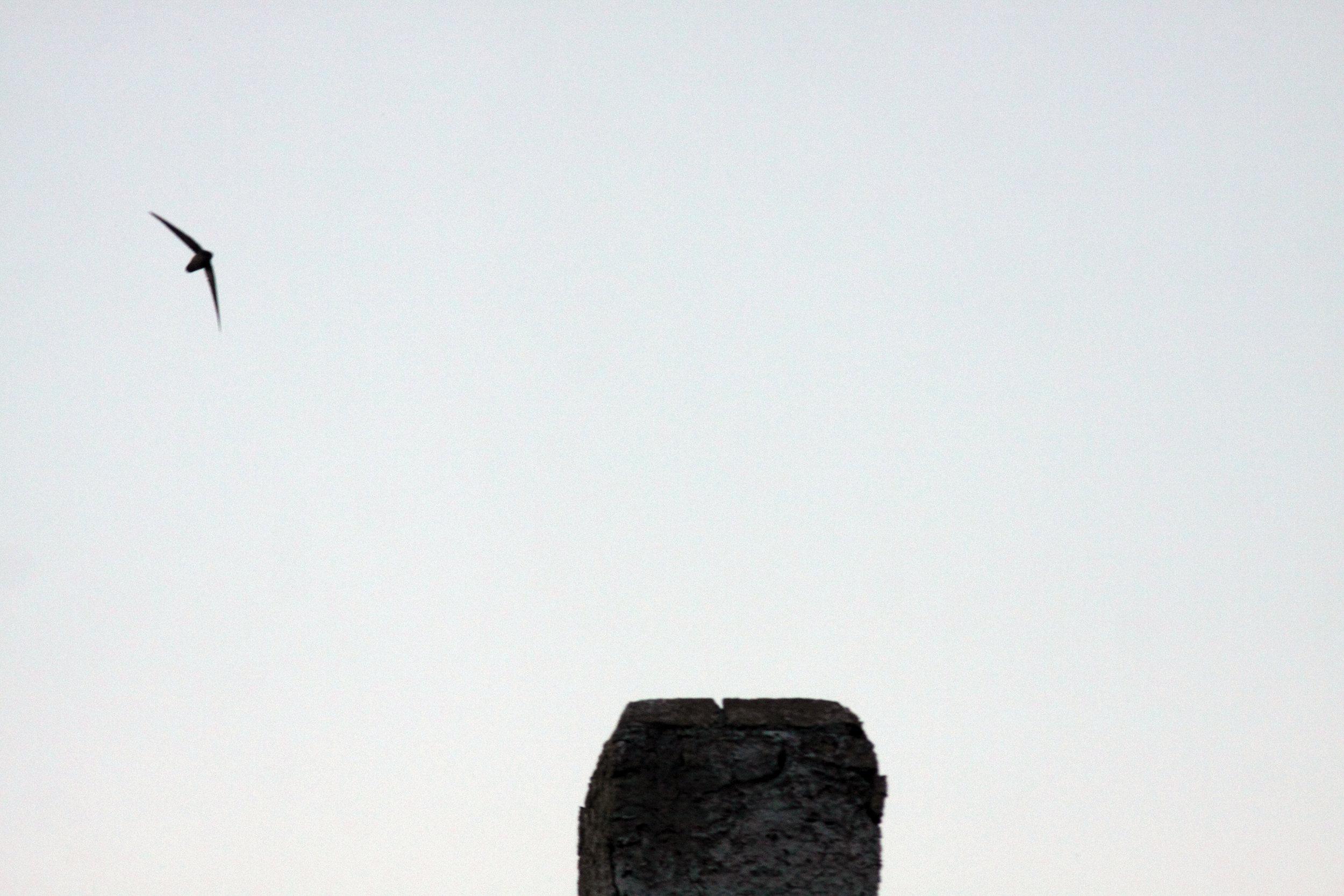 Chimney Swift_1364_chimney_Artuso_large.jpg