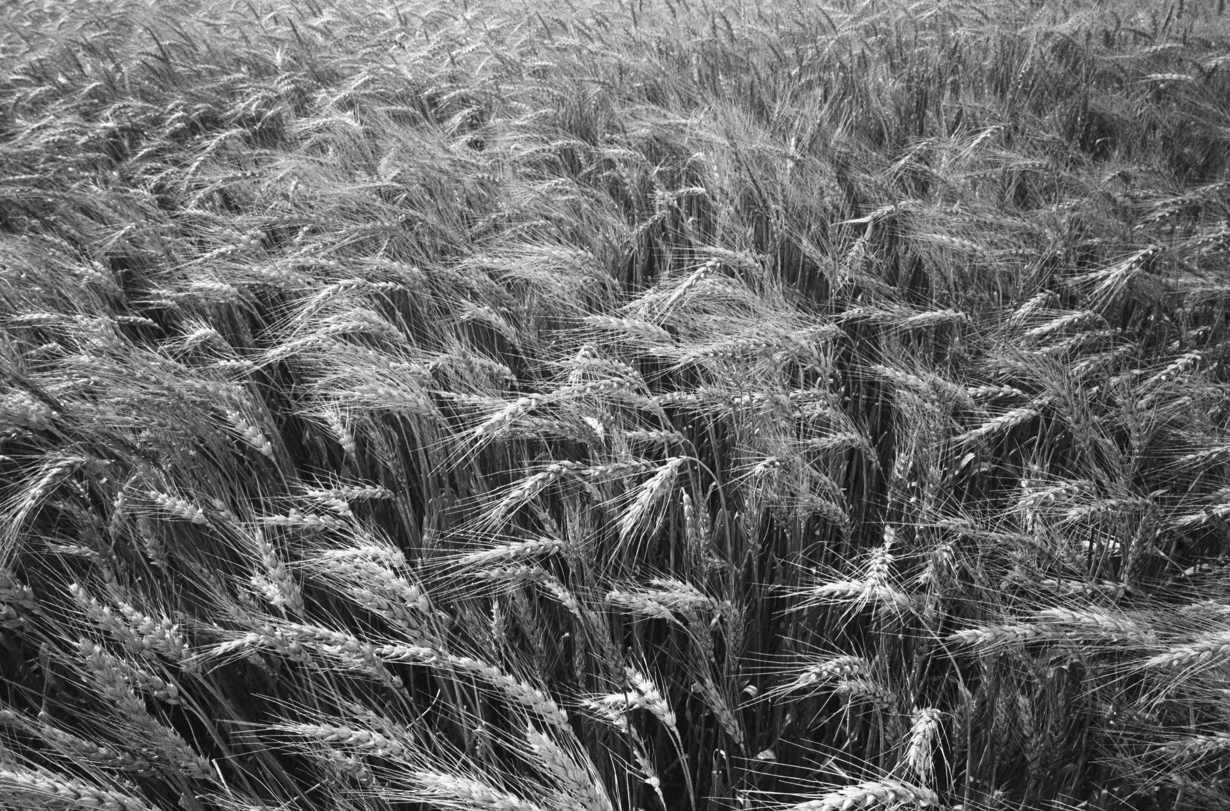 22_Maio_Wheat_Field_Marquette_KS-22.jpg