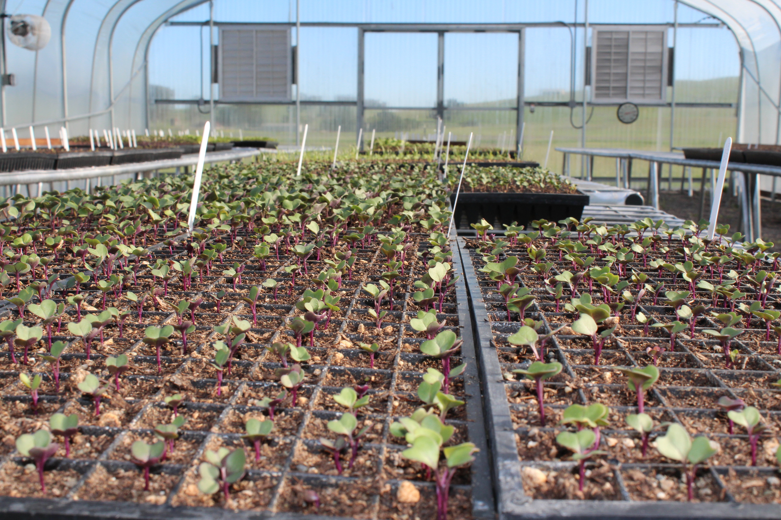 Seedlings in the greenhouse