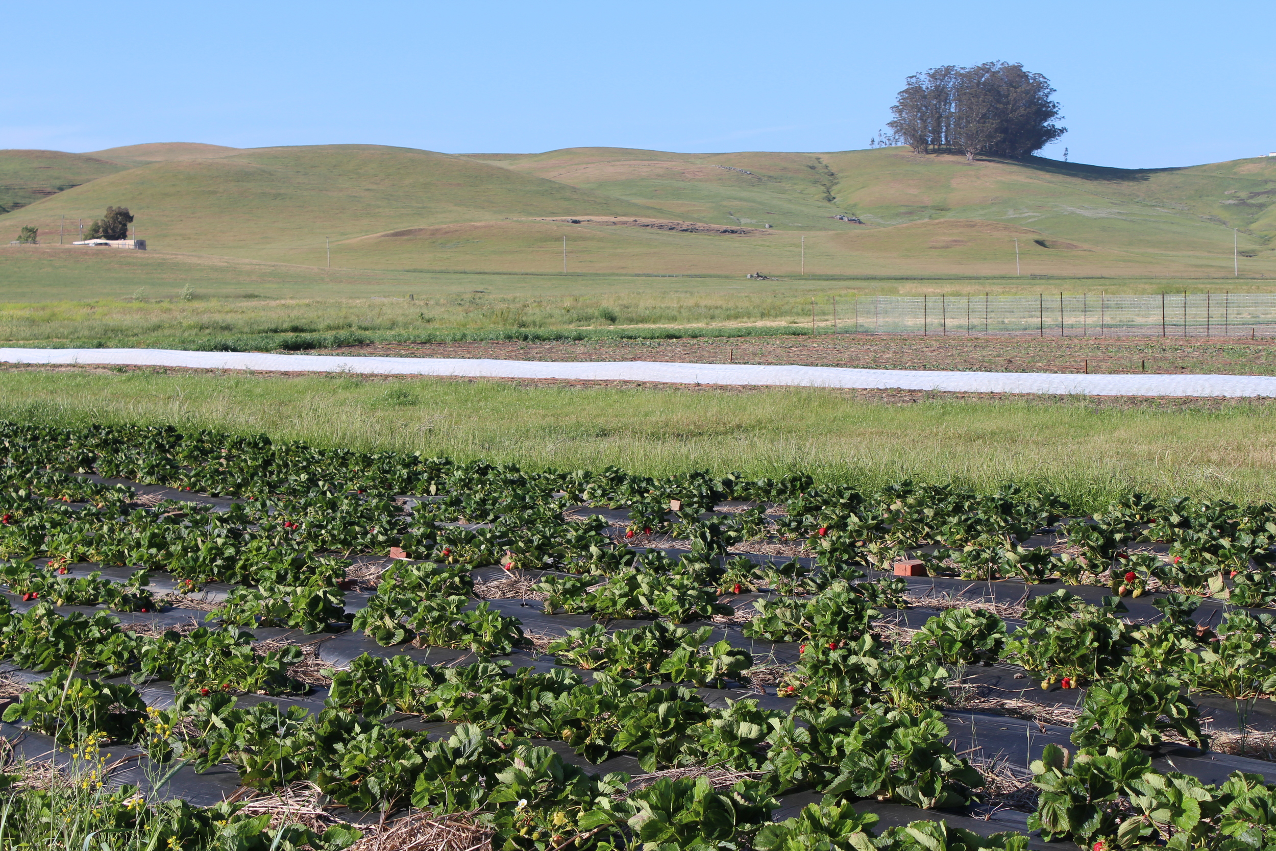 The growing fields with strawberries in the front.