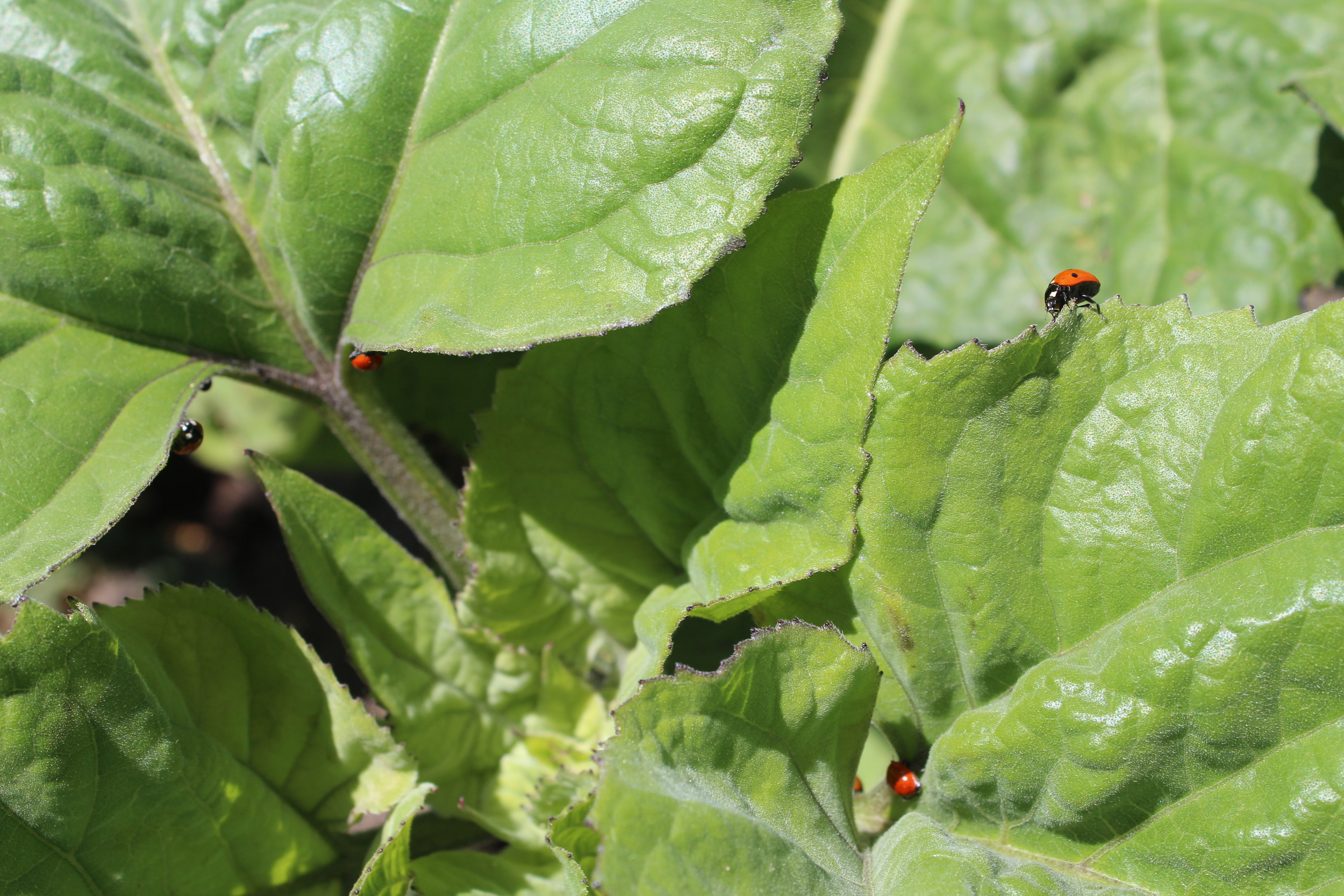 Five or more ladybugs on a sunflower plant!