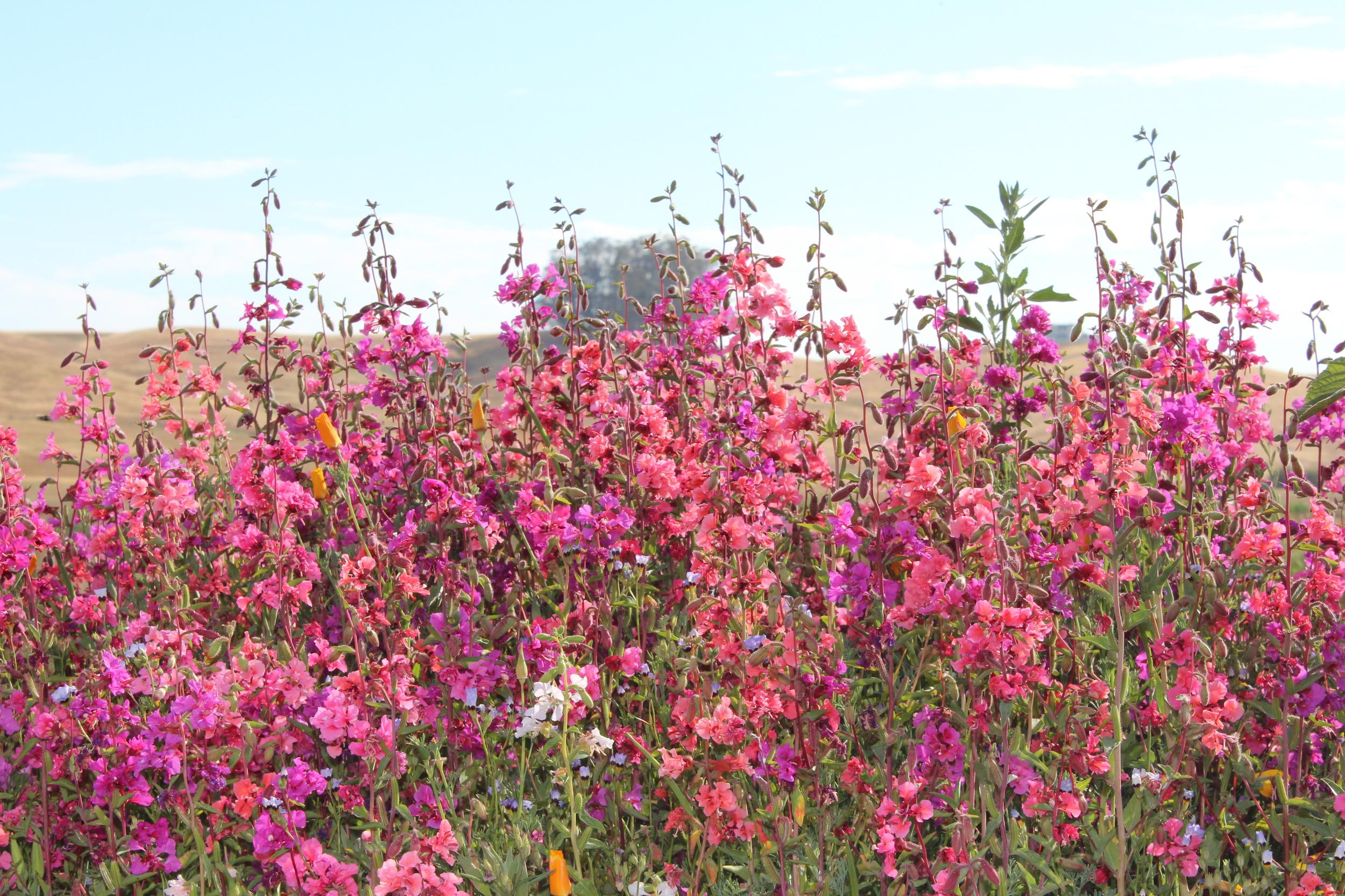 Clarkia in bloom.