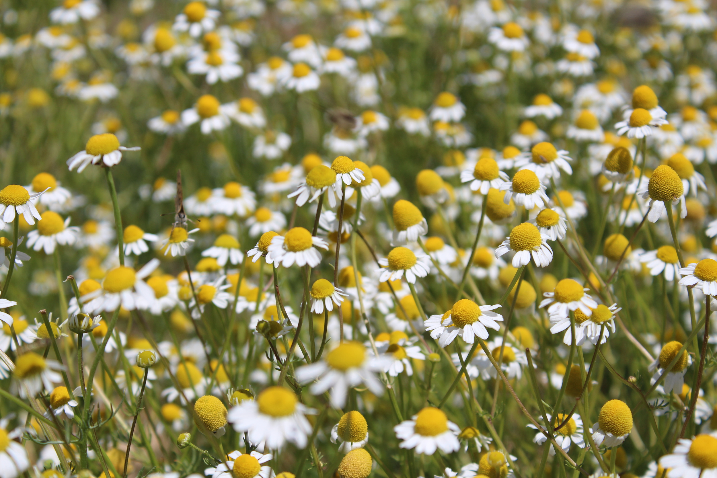 Chamomile with pollinators all over it. It is ready to be picked for tea!