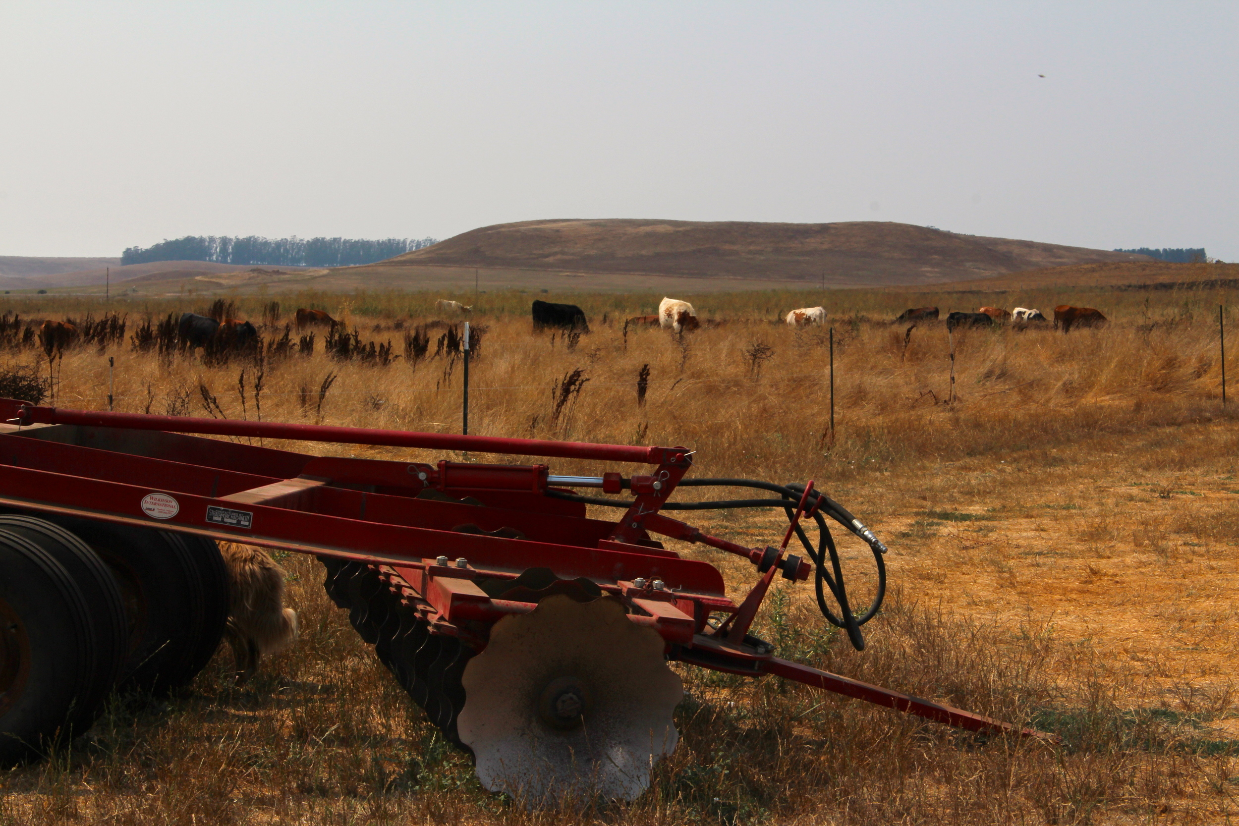 Big disc with the young cows in the background.