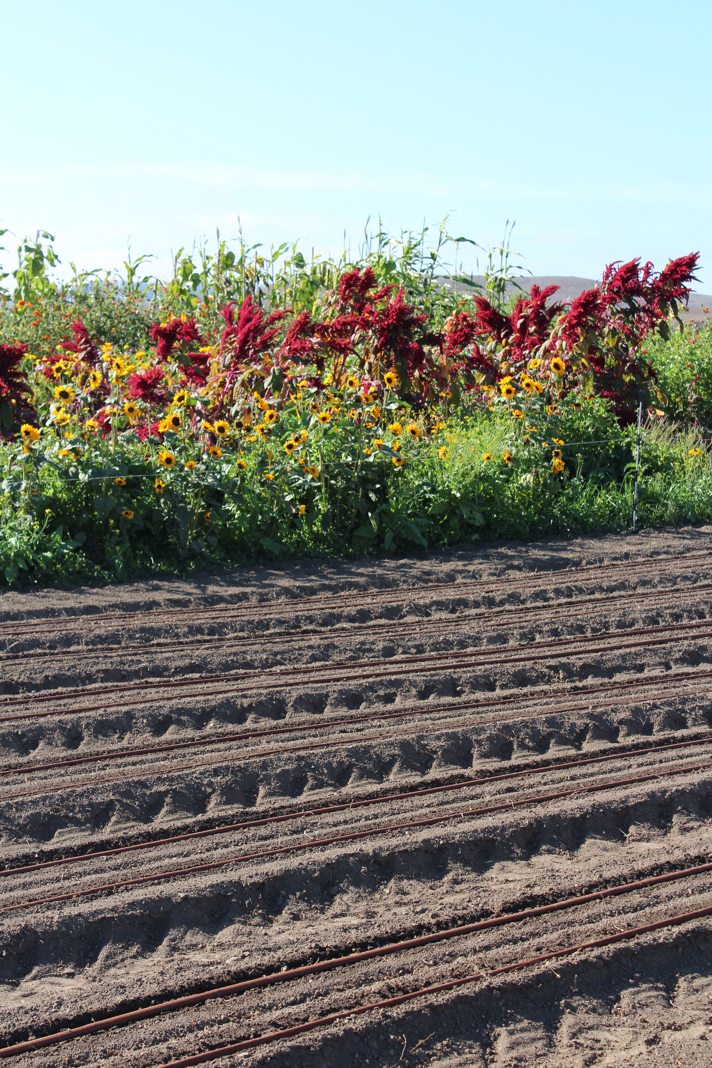 Stark contrast of flowers and freshly seeded beds