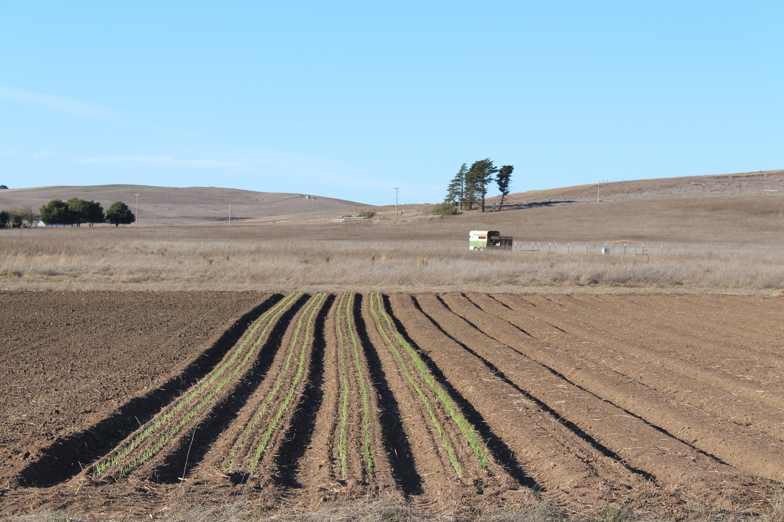 Spring Onions in the ground with the pig trailer in the background.